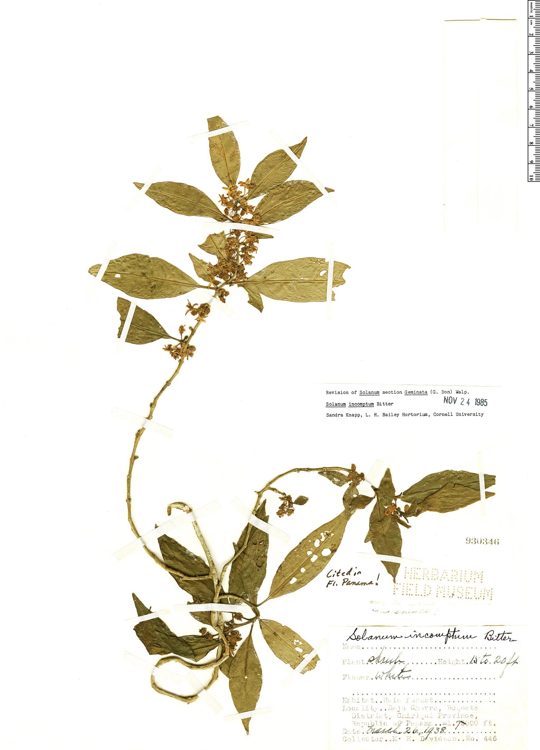 Specimen: Solanum incomptum