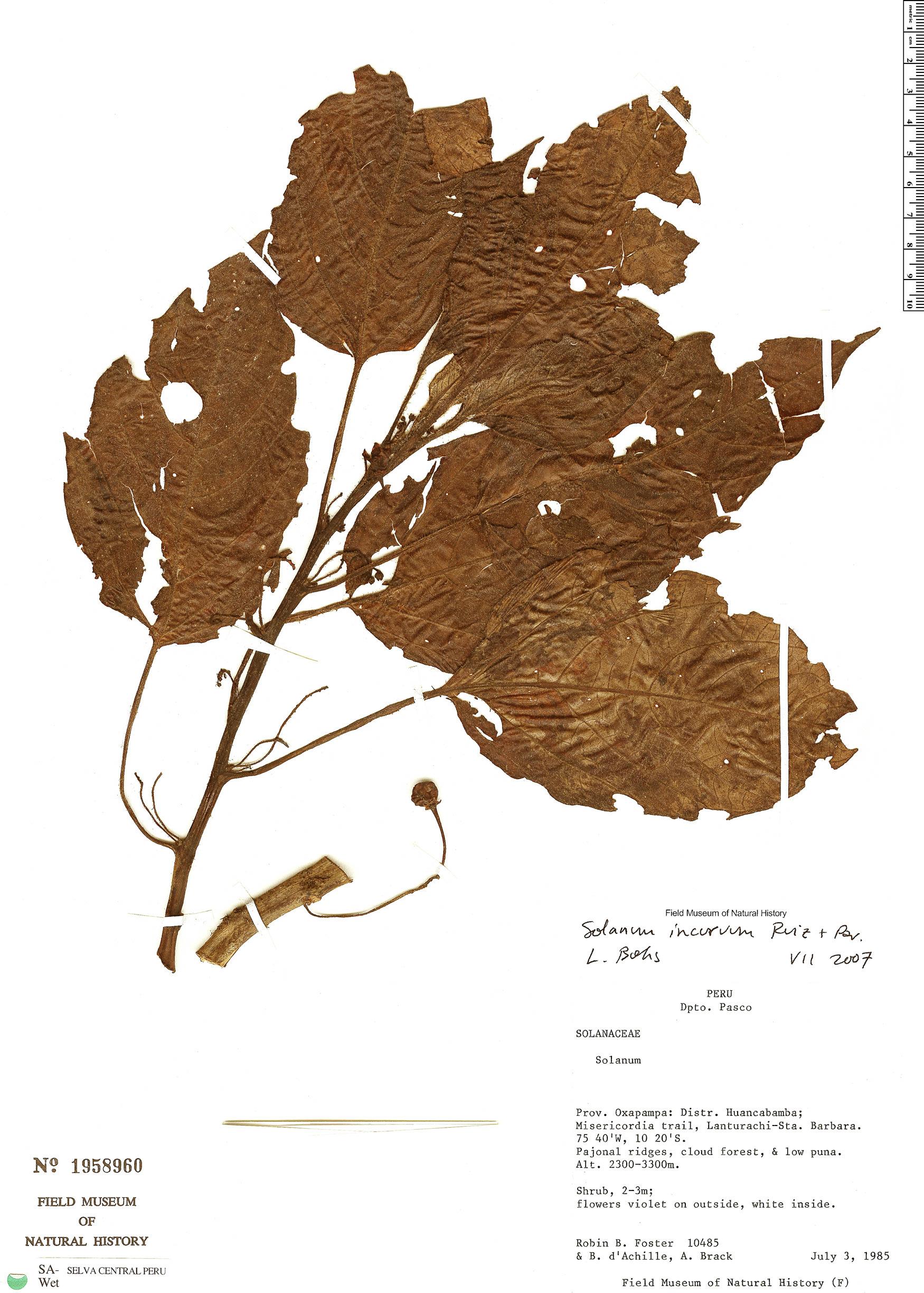 Espécimen: Solanum incurvum