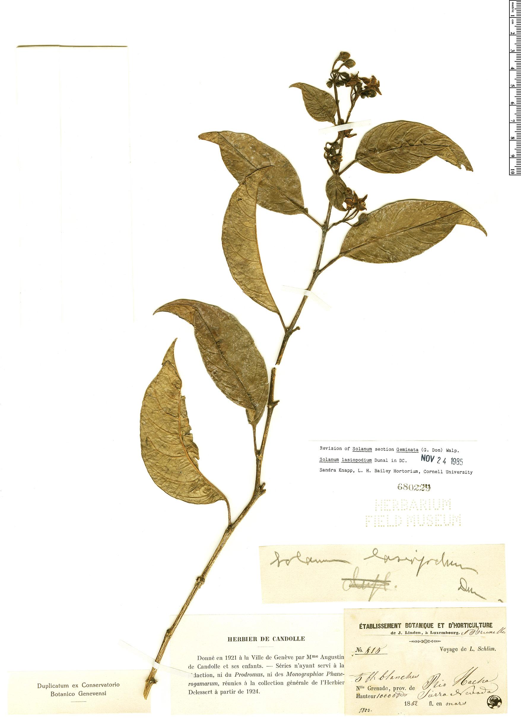 Espécime: Solanum lasiopodium