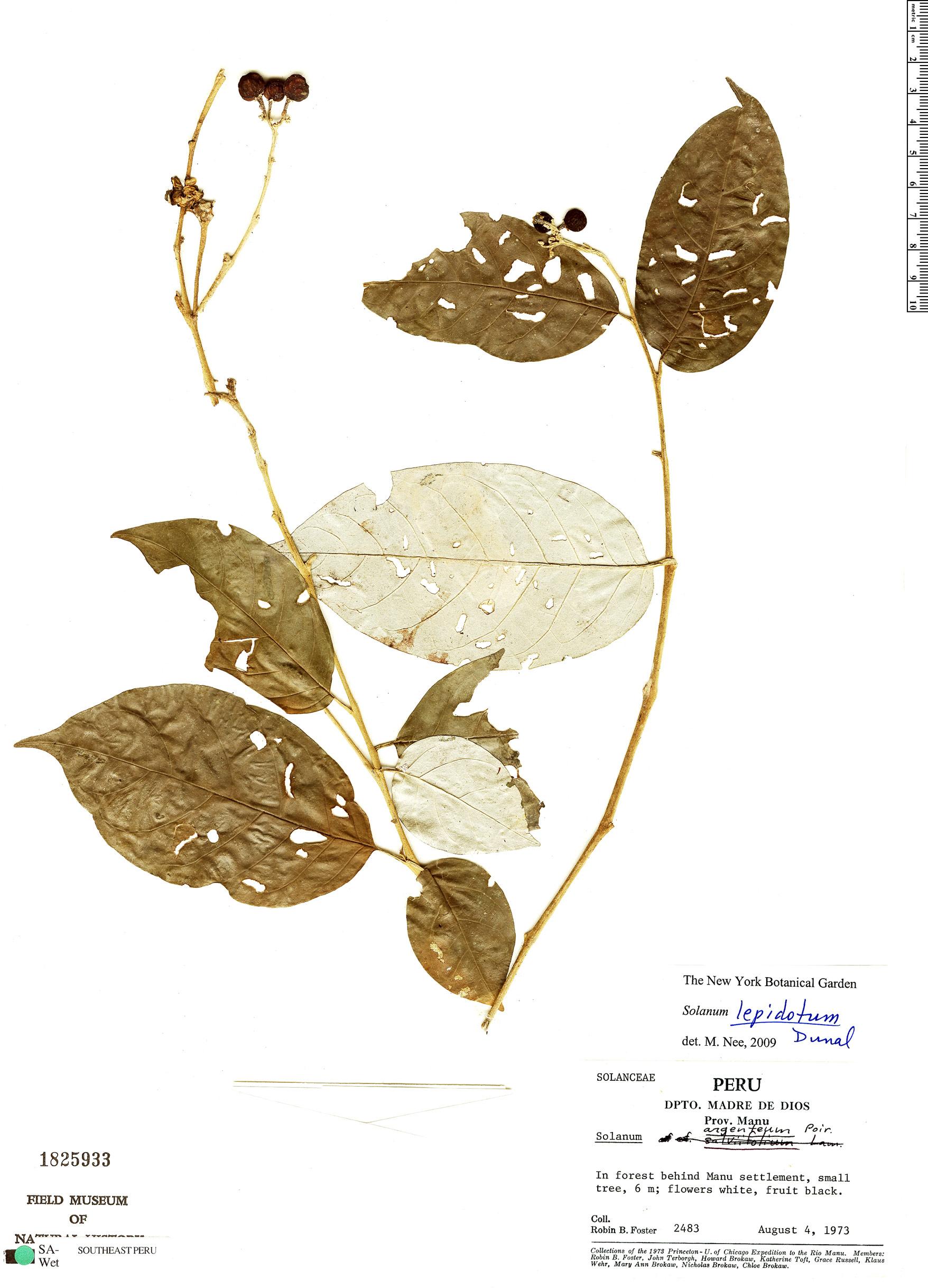 Specimen: Solanum lepidotum