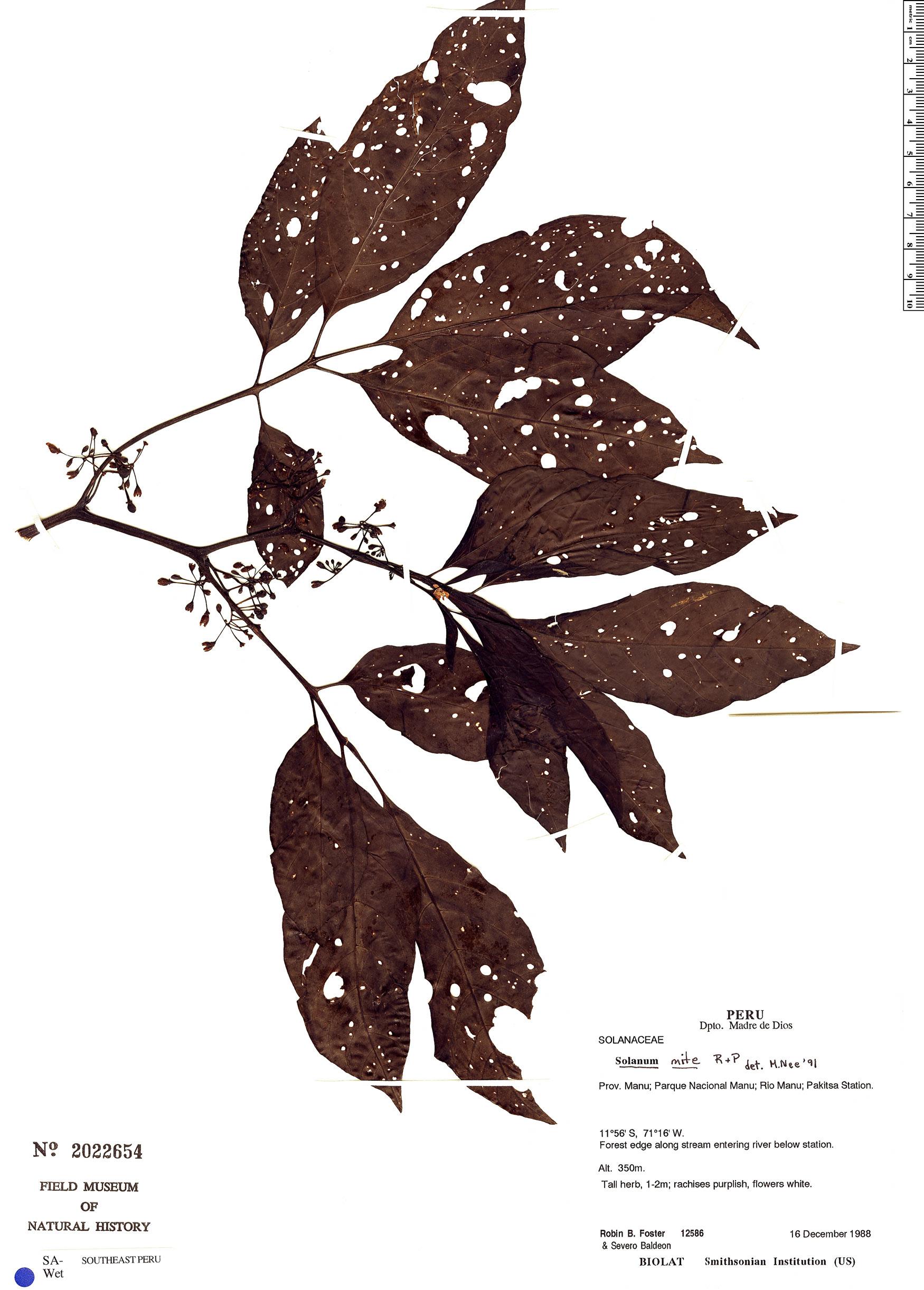 Specimen: Solanum mite