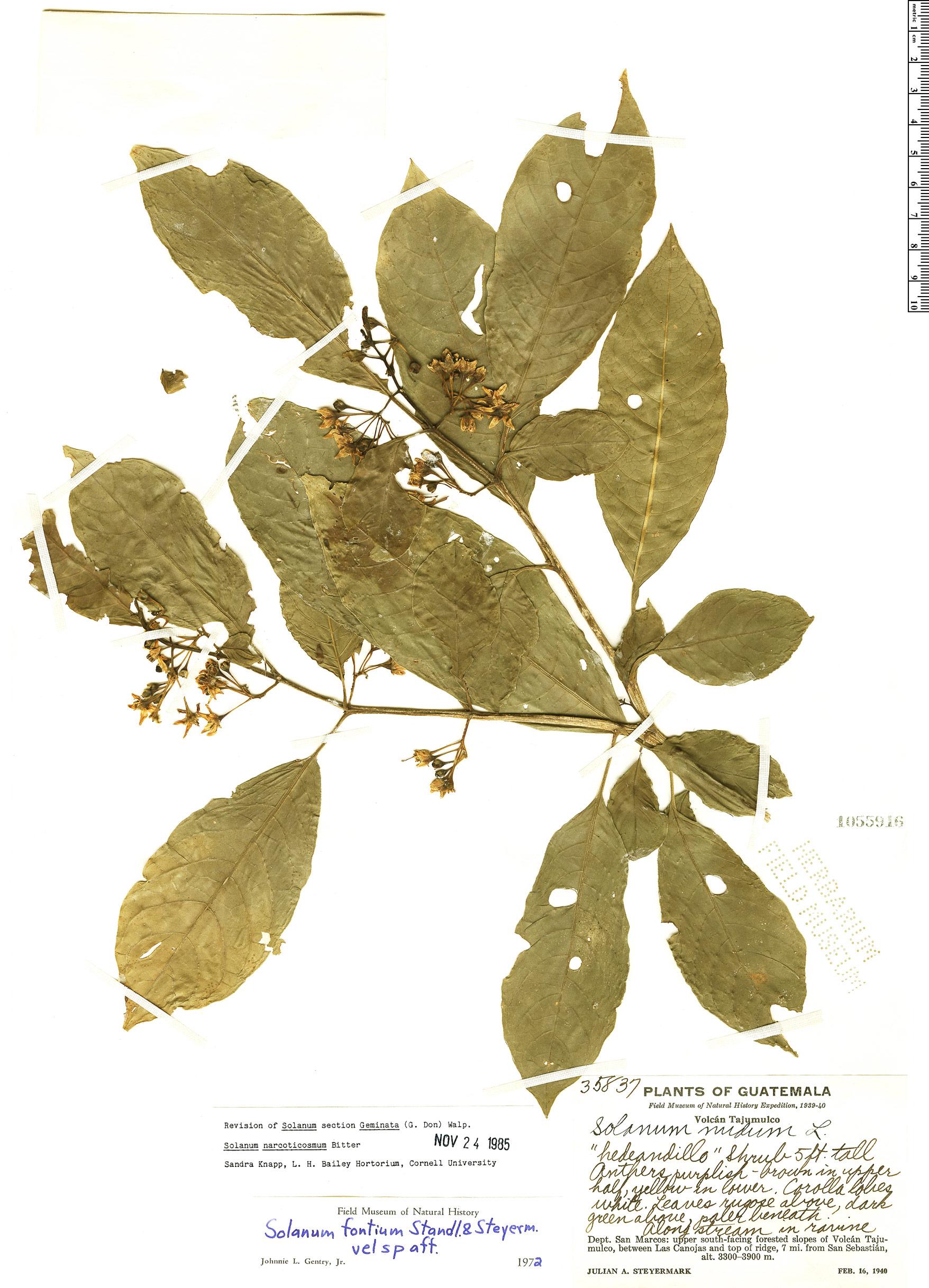 Specimen: Solanum narcoticosmum