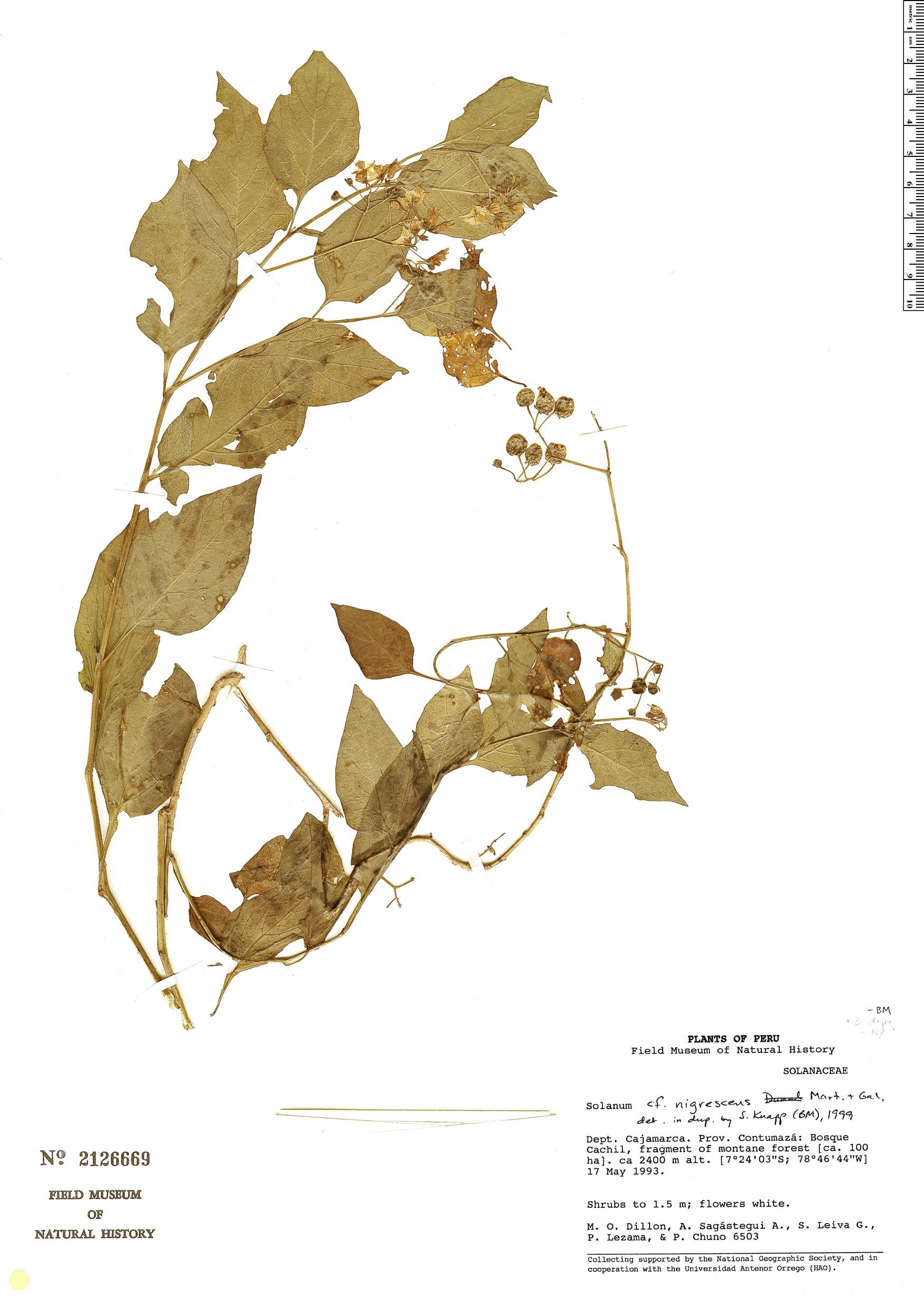 Specimen: Solanum nigrescens