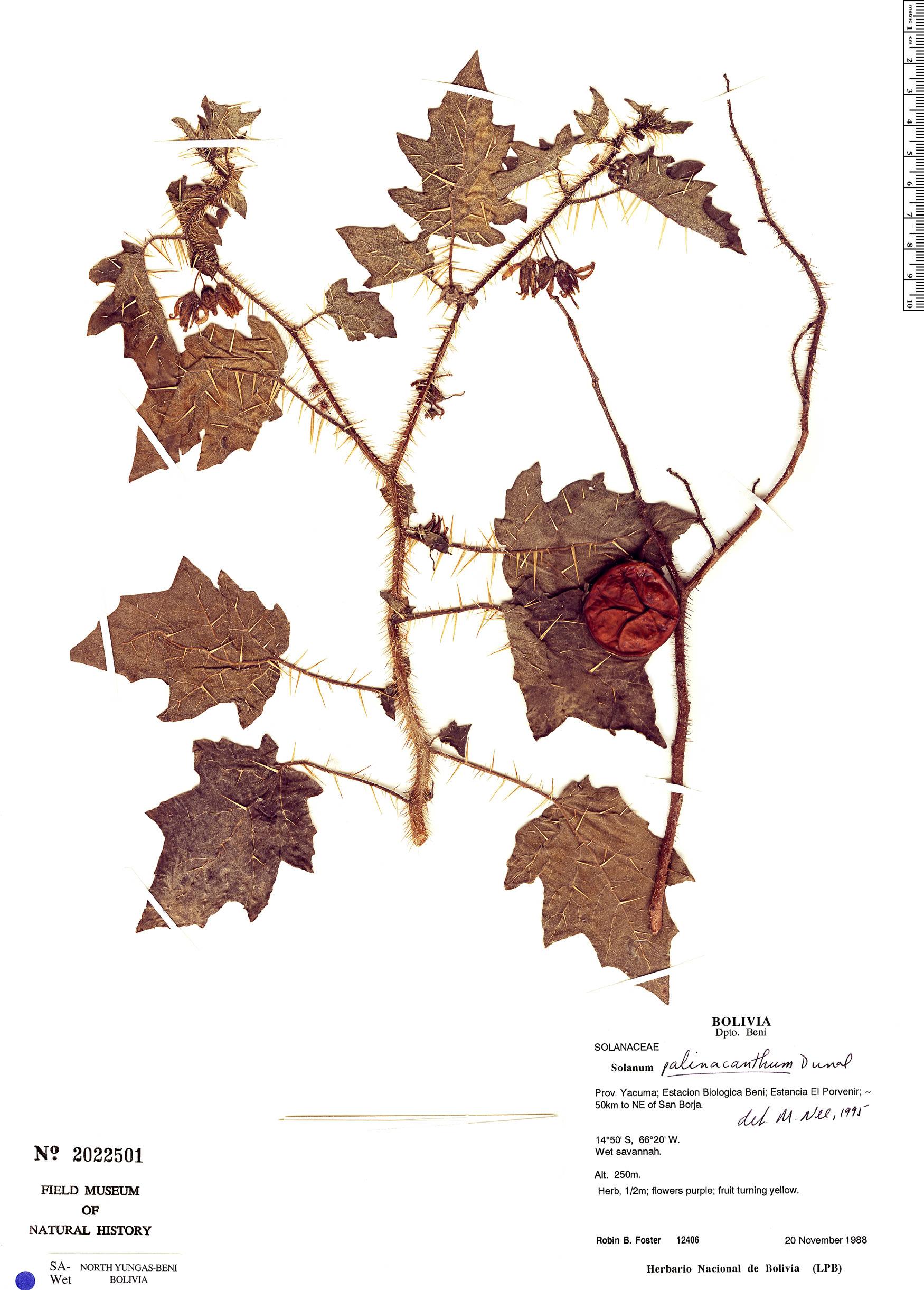 Specimen: Solanum palinacanthum
