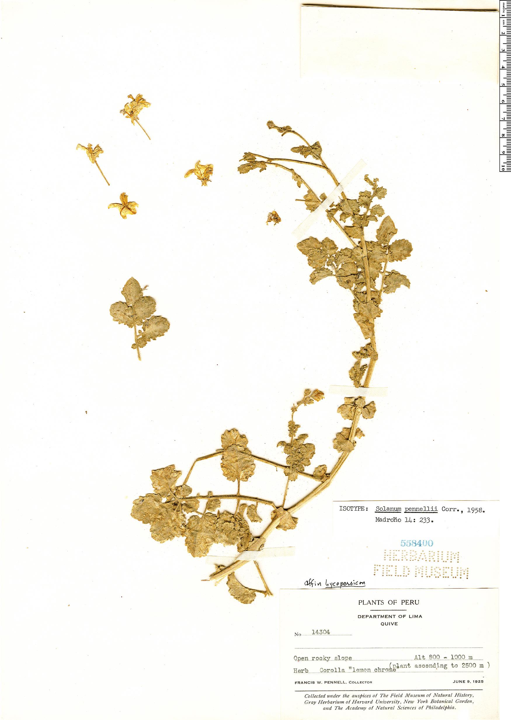 Specimen: Solanum pennellii