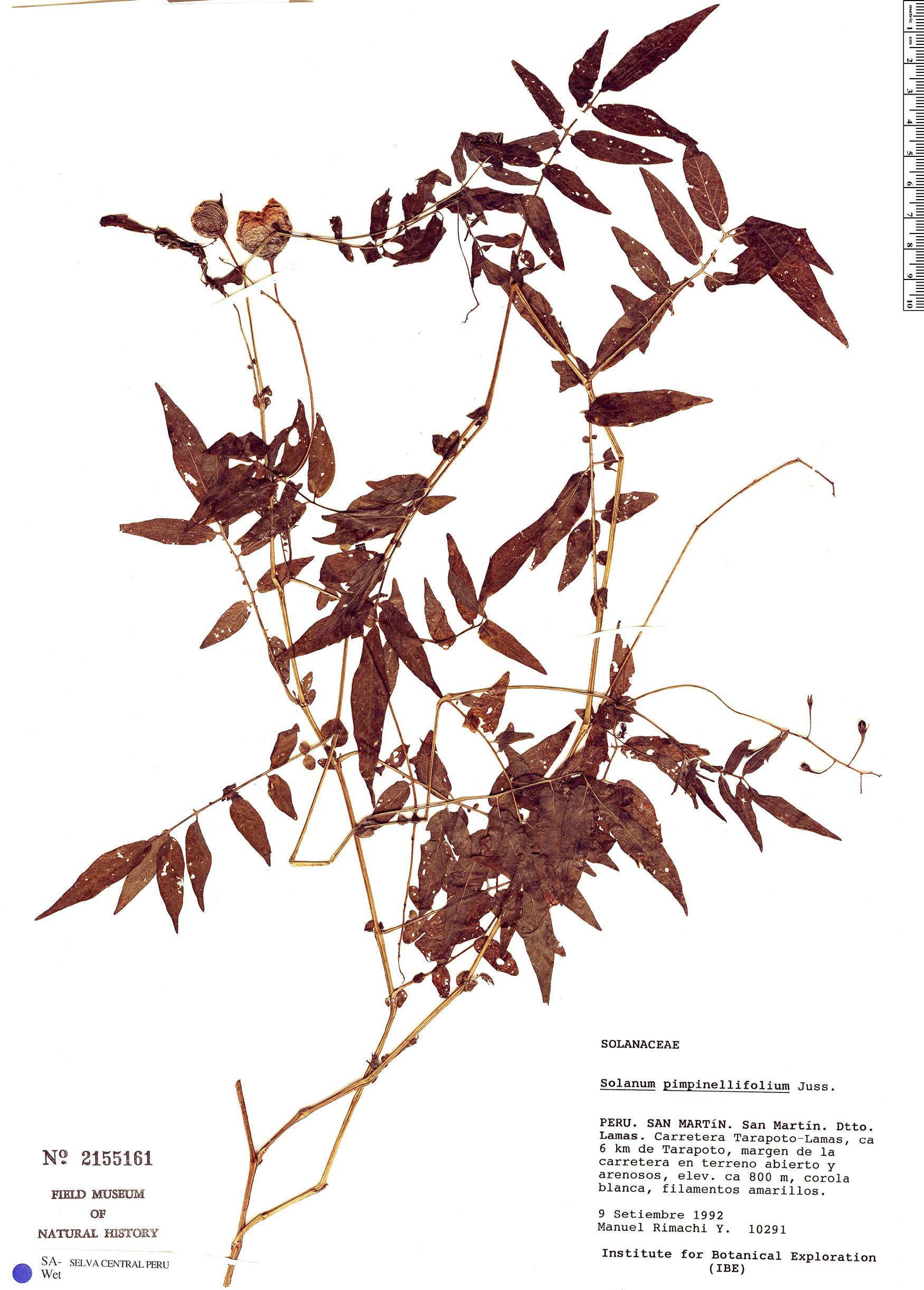 Specimen: Solanum pimpinellifolium