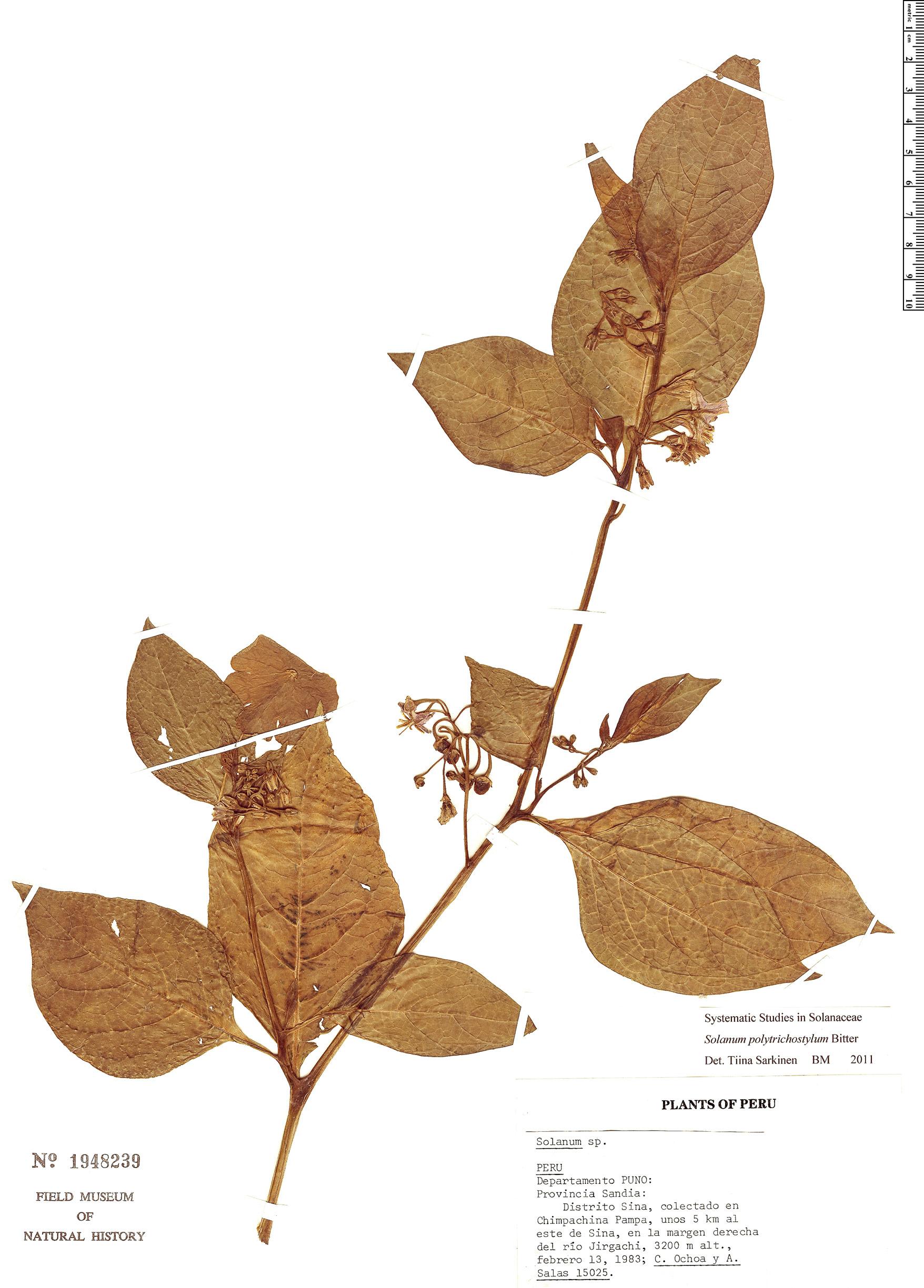 Specimen: Solanum polytrichostylum