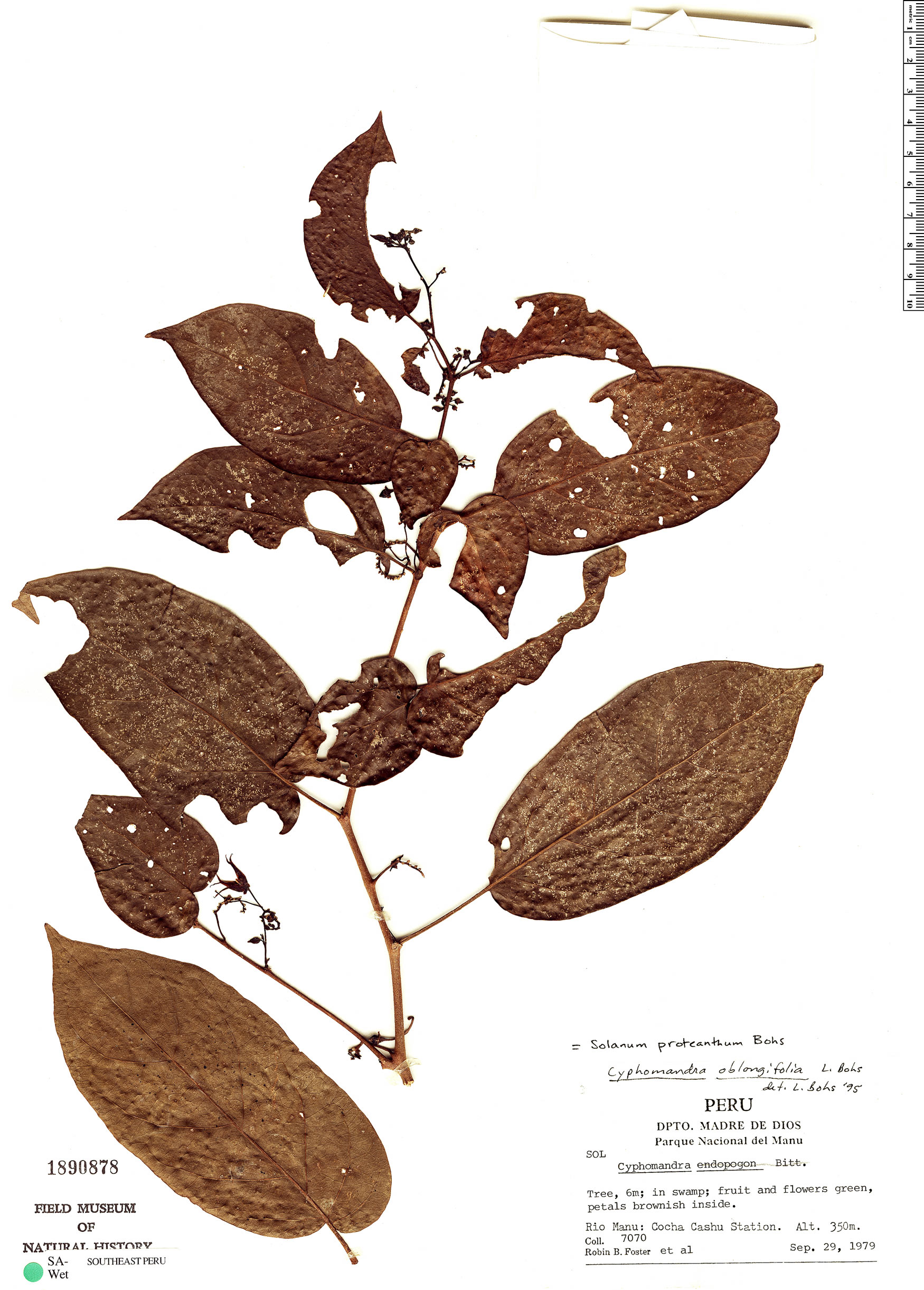 Specimen: Solanum proteanthum