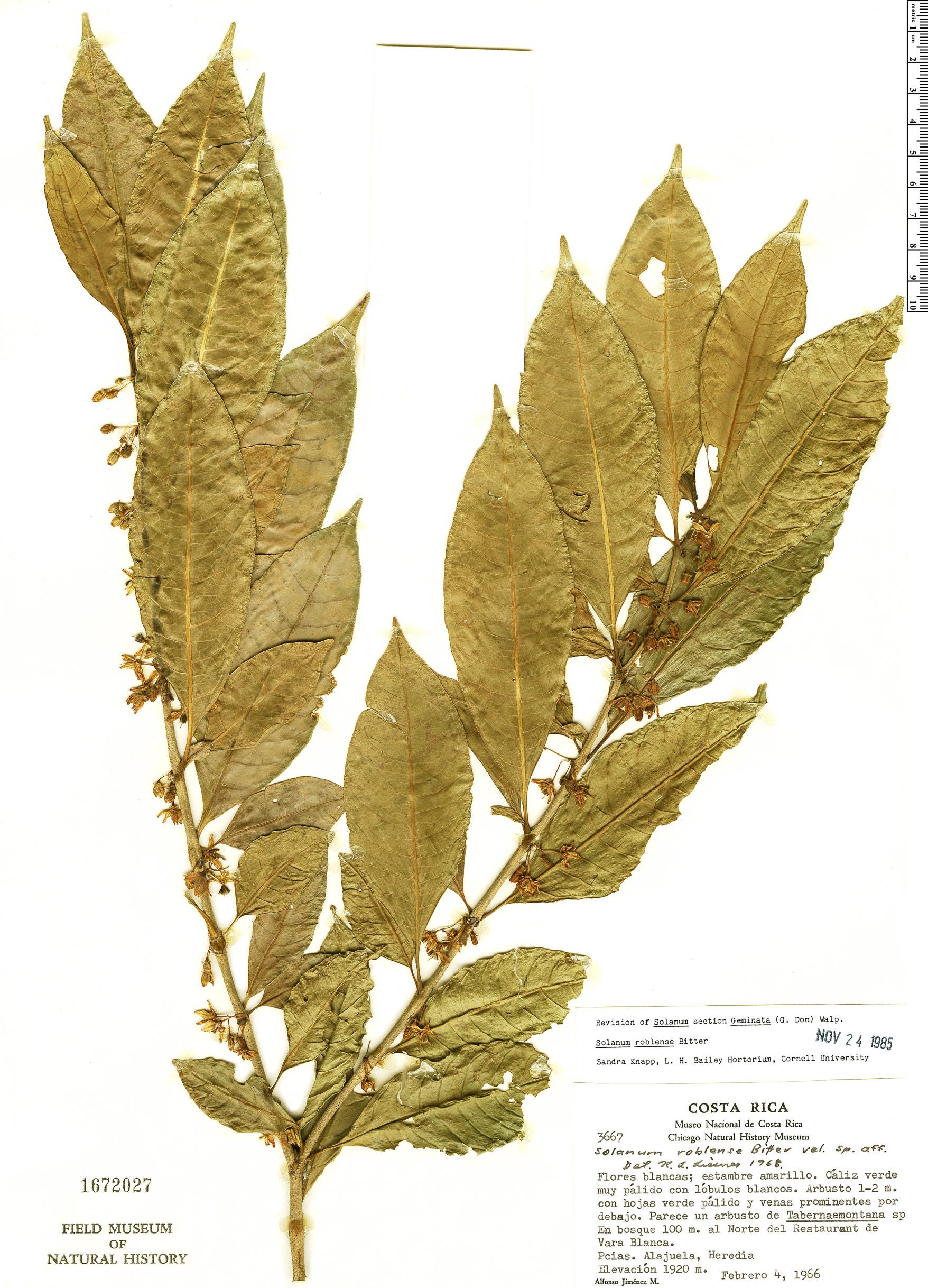 Specimen: Solanum roblense