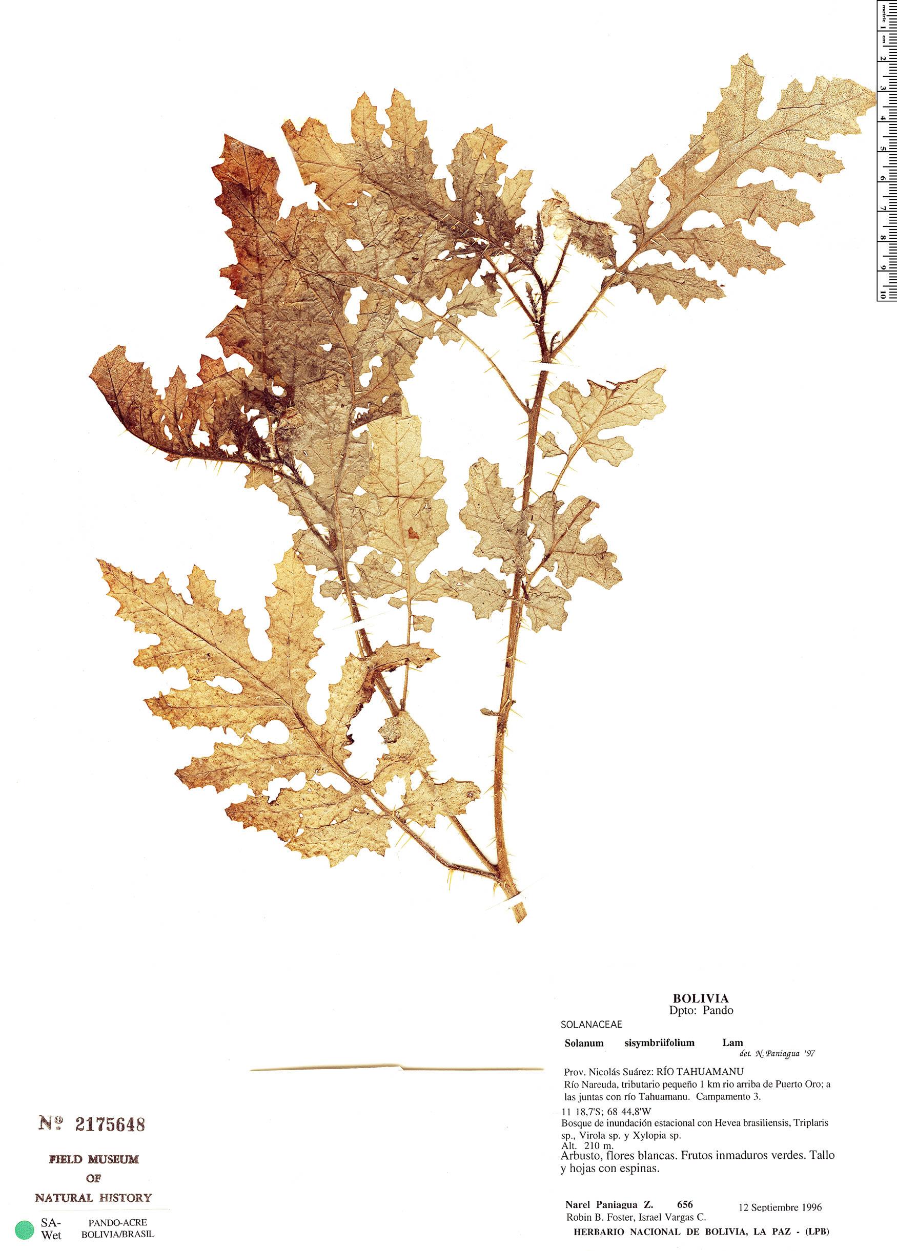 Specimen: Solanum sisymbriifolium