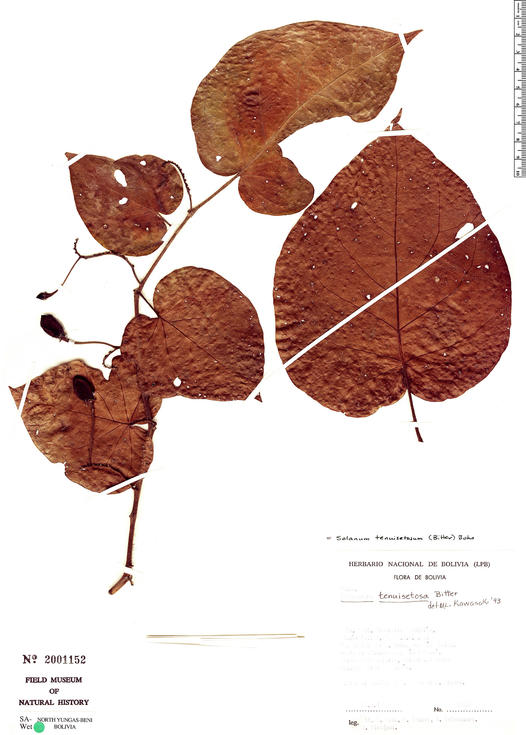 Specimen: Solanum tenuisetosum