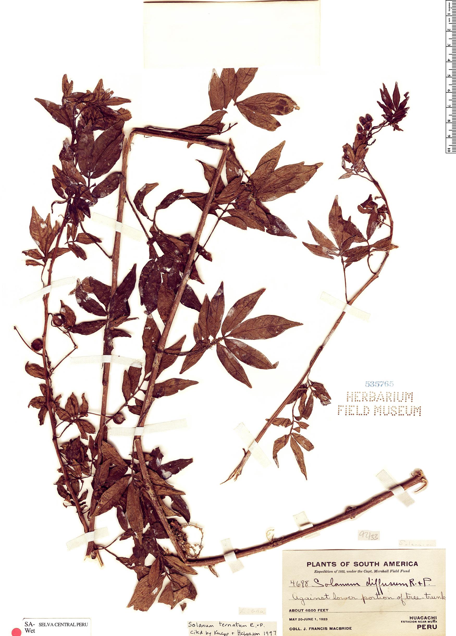 Specimen: Solanum ternatum