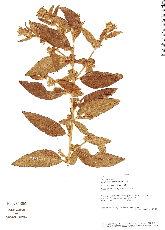 Specimen: Cestrum tomentosum