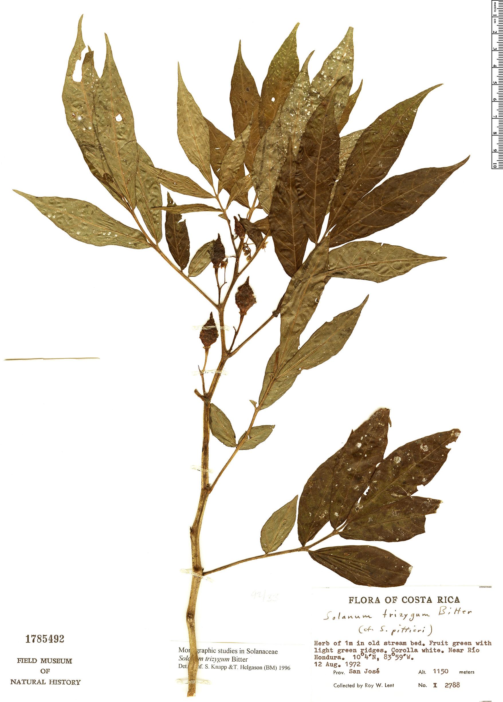 Espécimen: Solanum trizygum