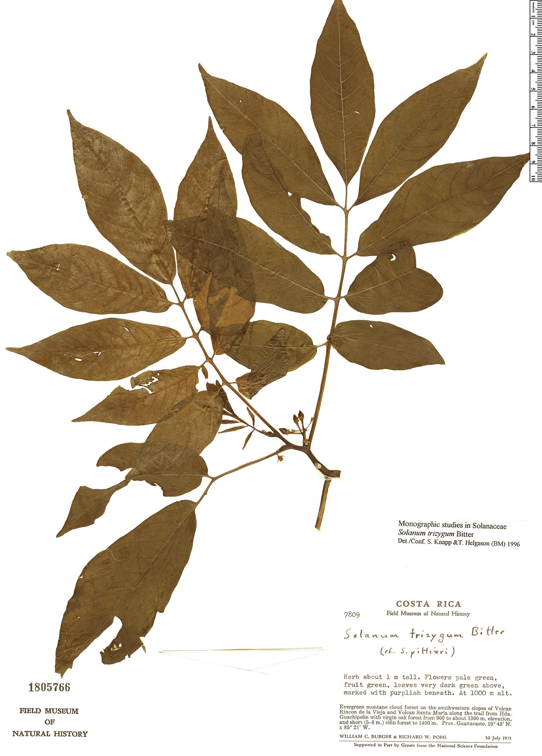 Specimen: Solanum trizygum