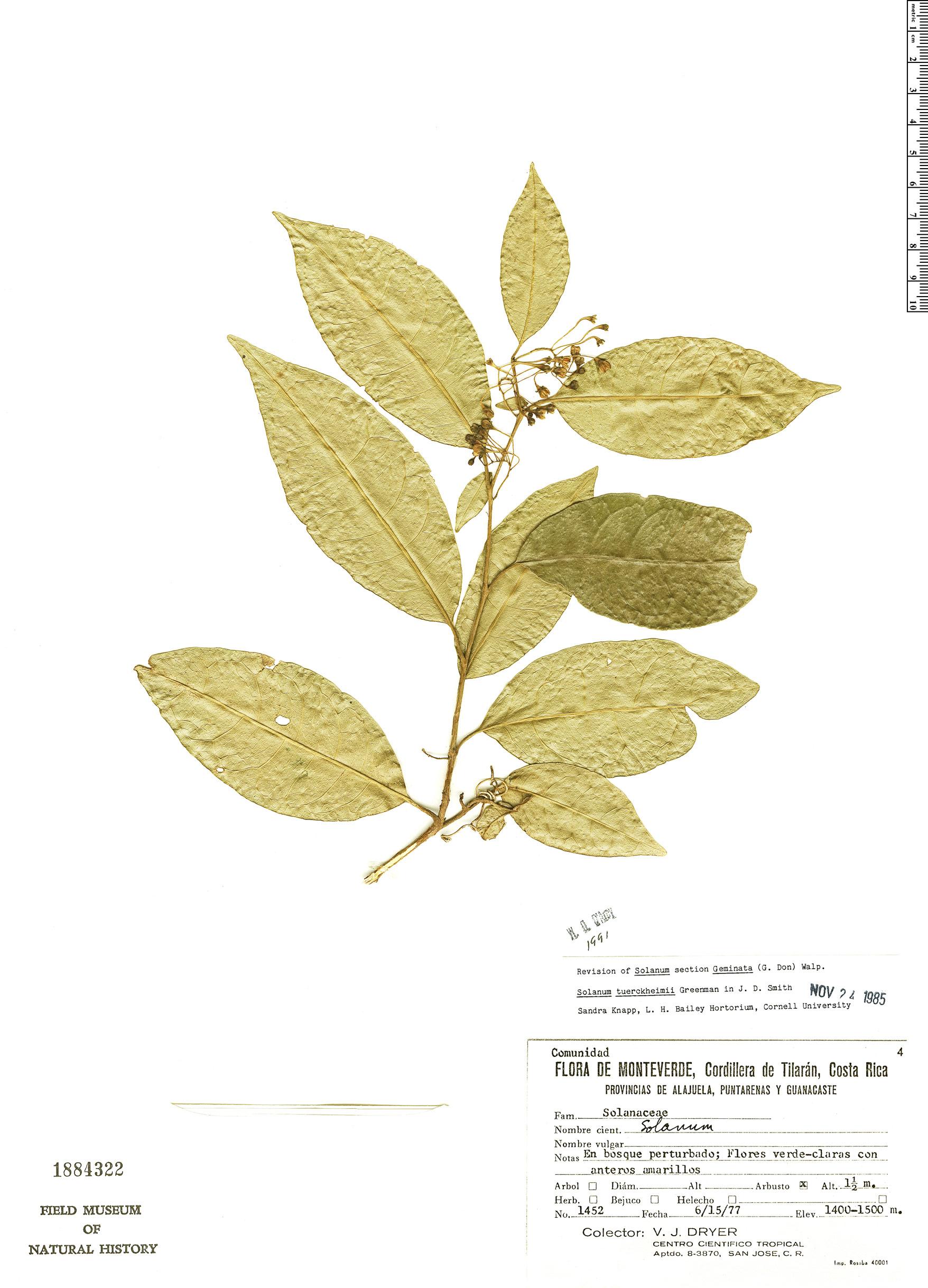 Specimen: Solanum tuerckheimii