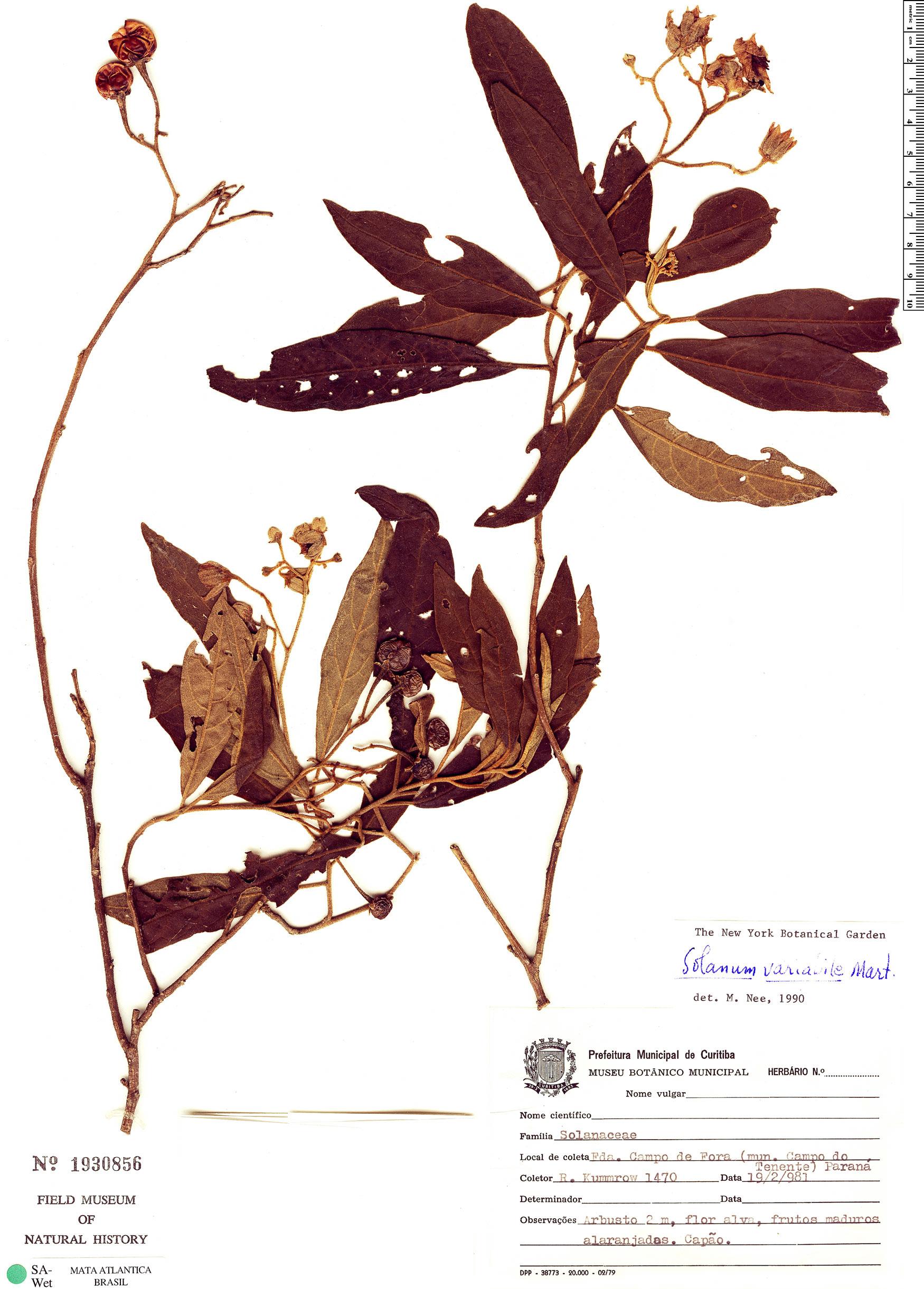 Specimen: Solanum variabile