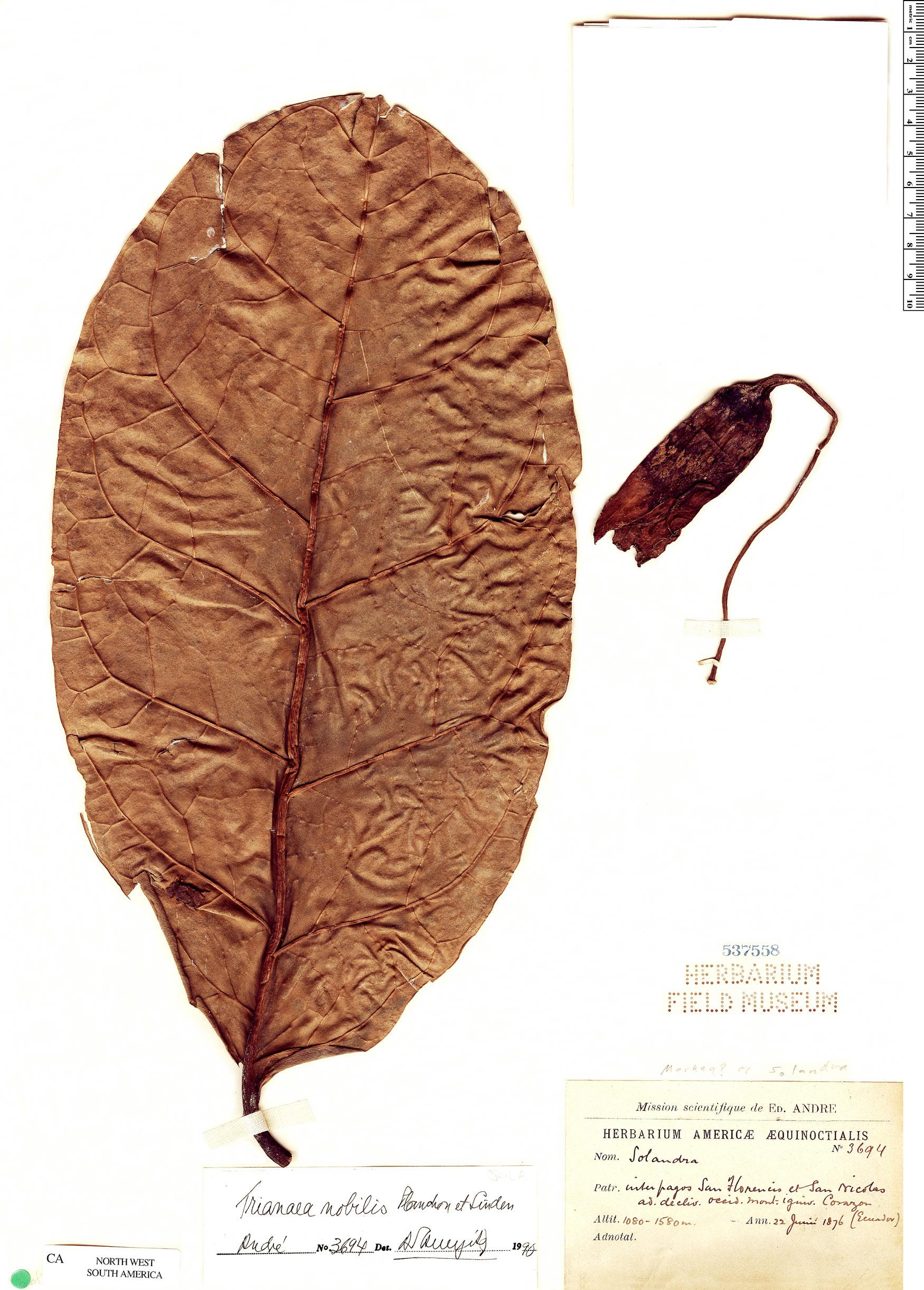 Specimen: Trianaea nobilis