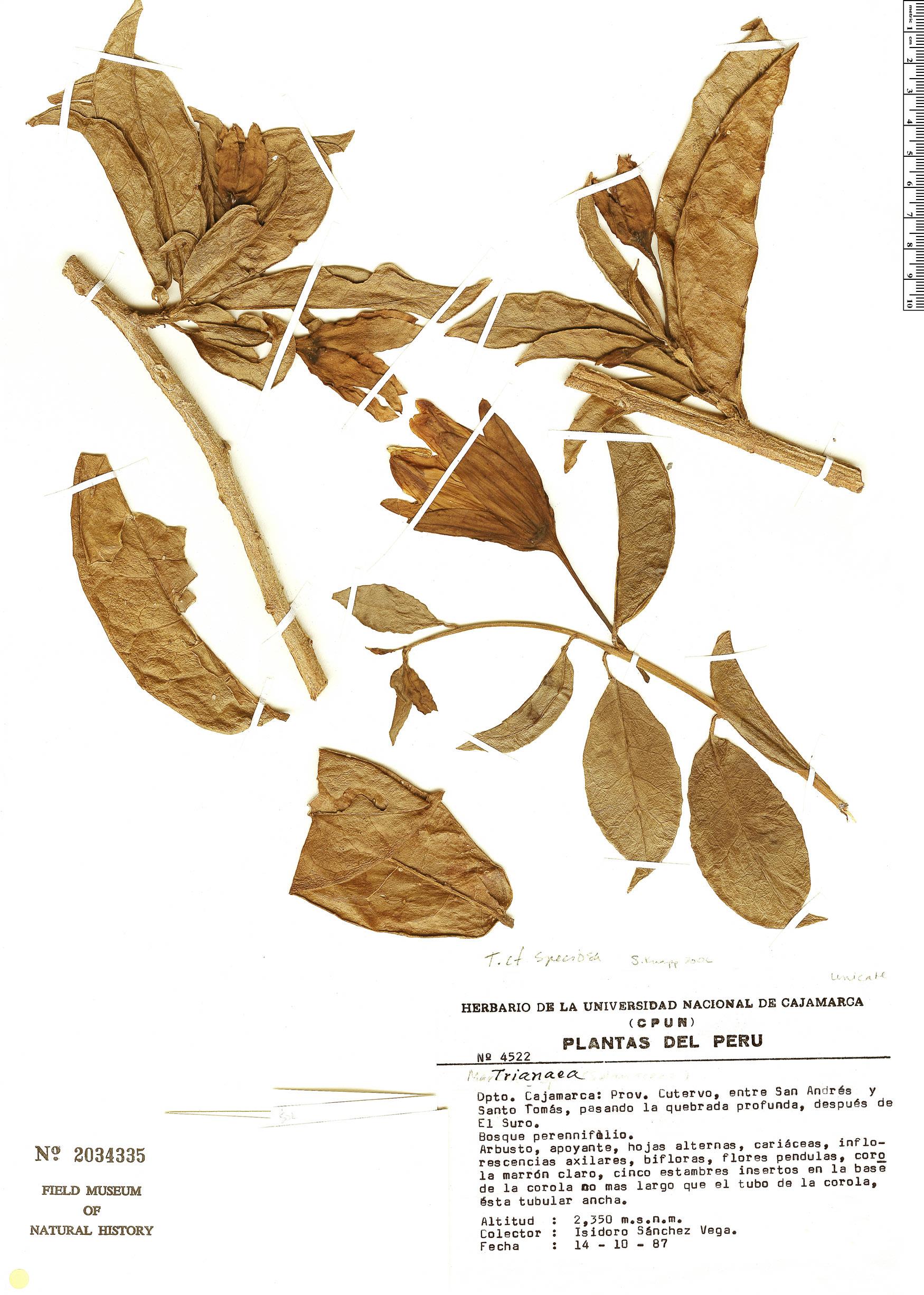 Espécime: Trianaea speciosa
