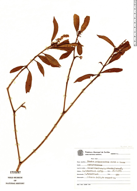 Specimen: Croton polygonoides