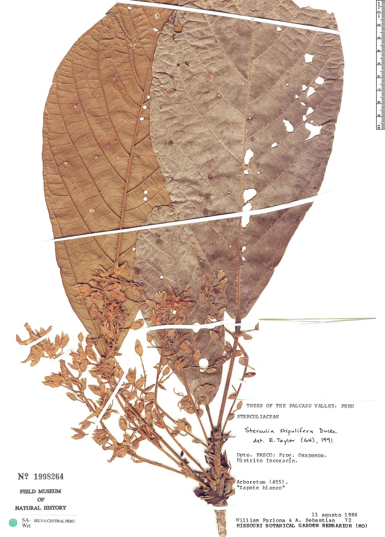 Specimen: Sterculia stipulifera