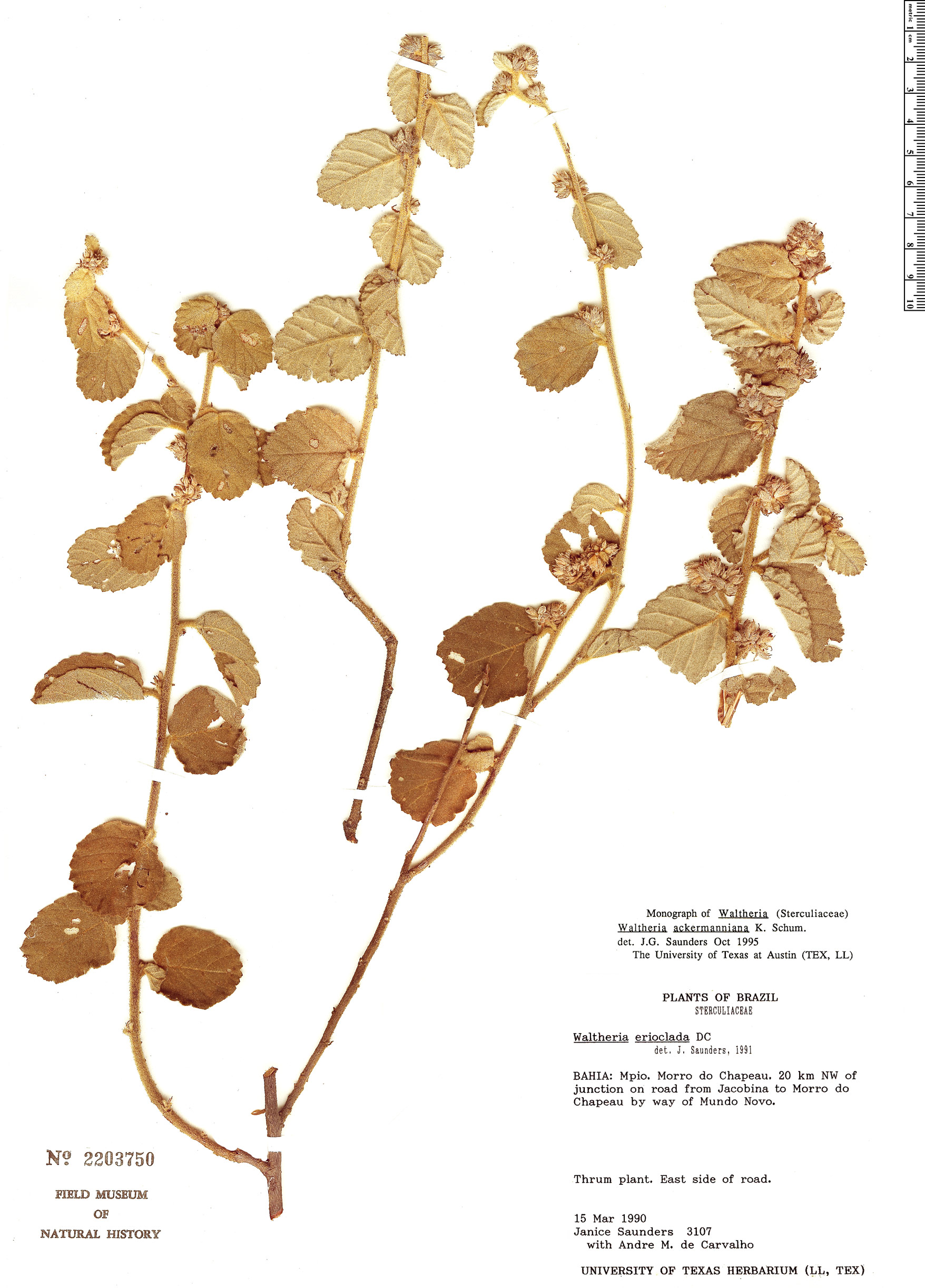 Espécime: Waltheria ackermanniana