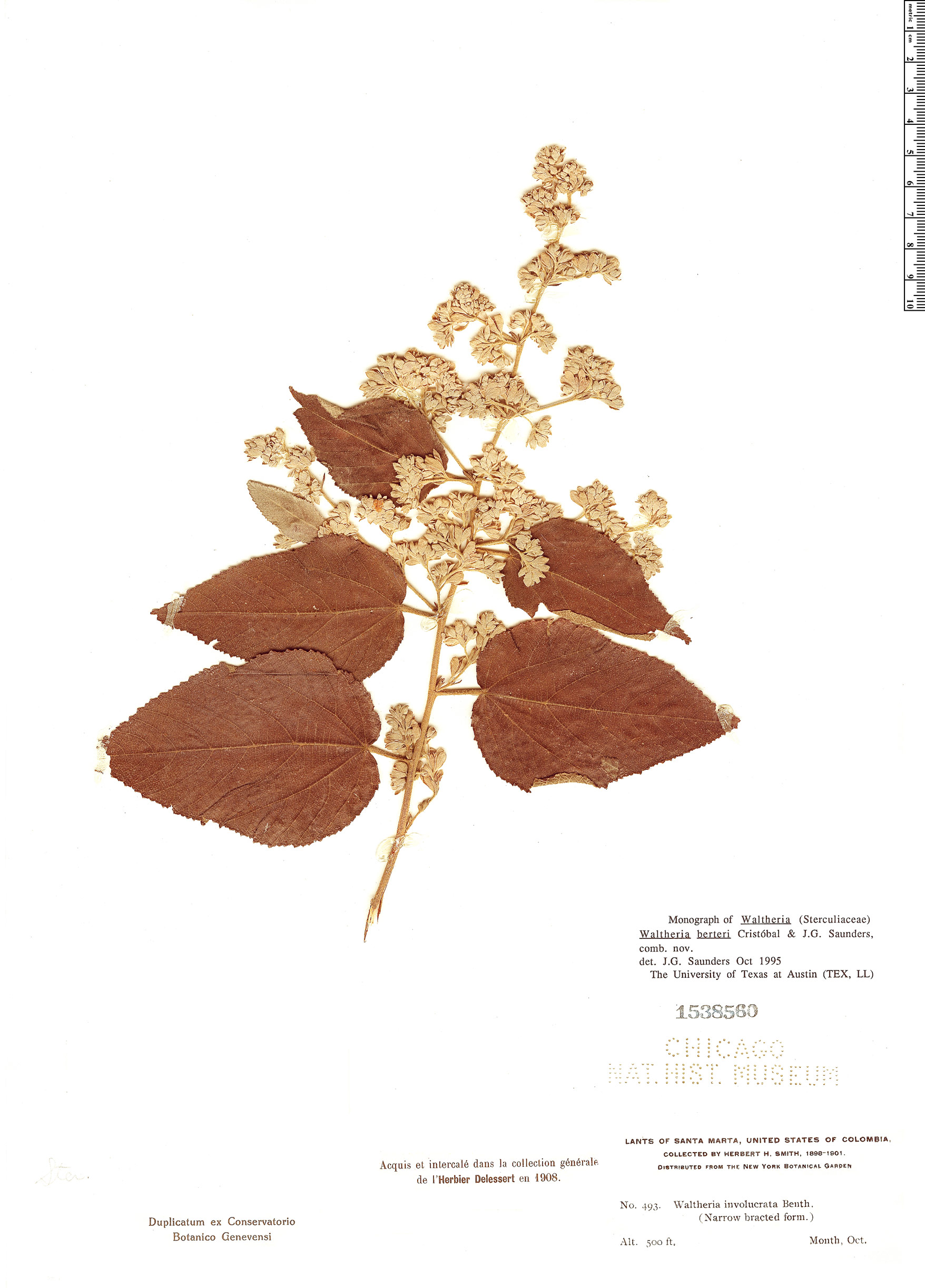 Specimen: Waltheria berteroi