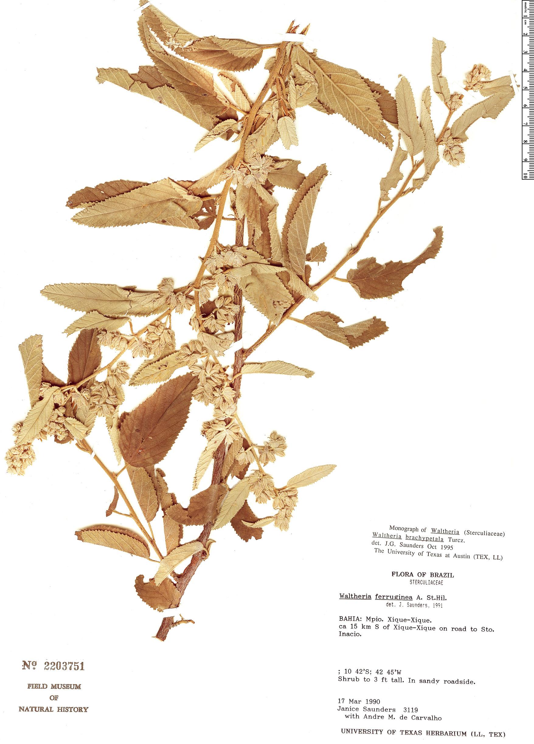 Specimen: Waltheria brachypetala
