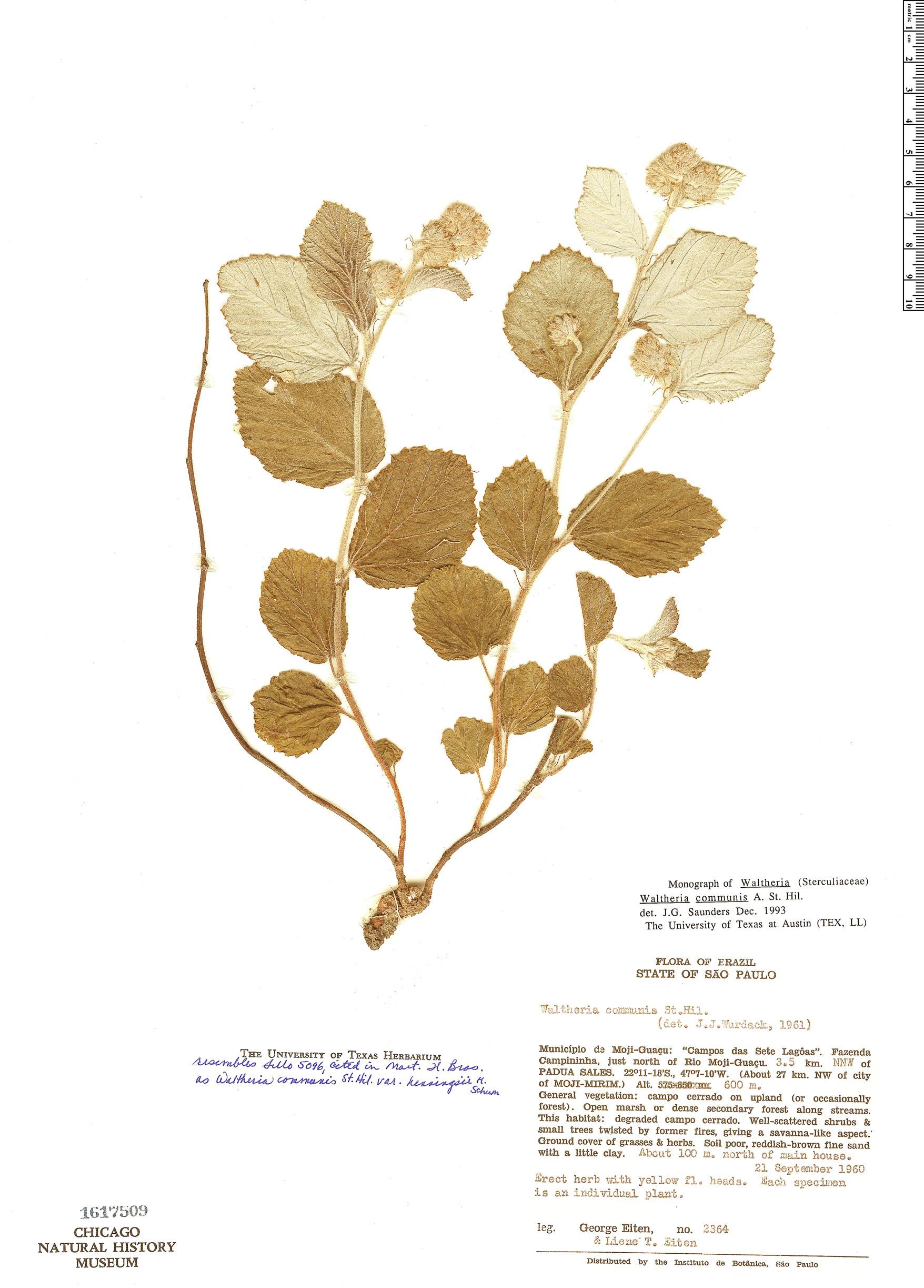 Specimen: Waltheria communis