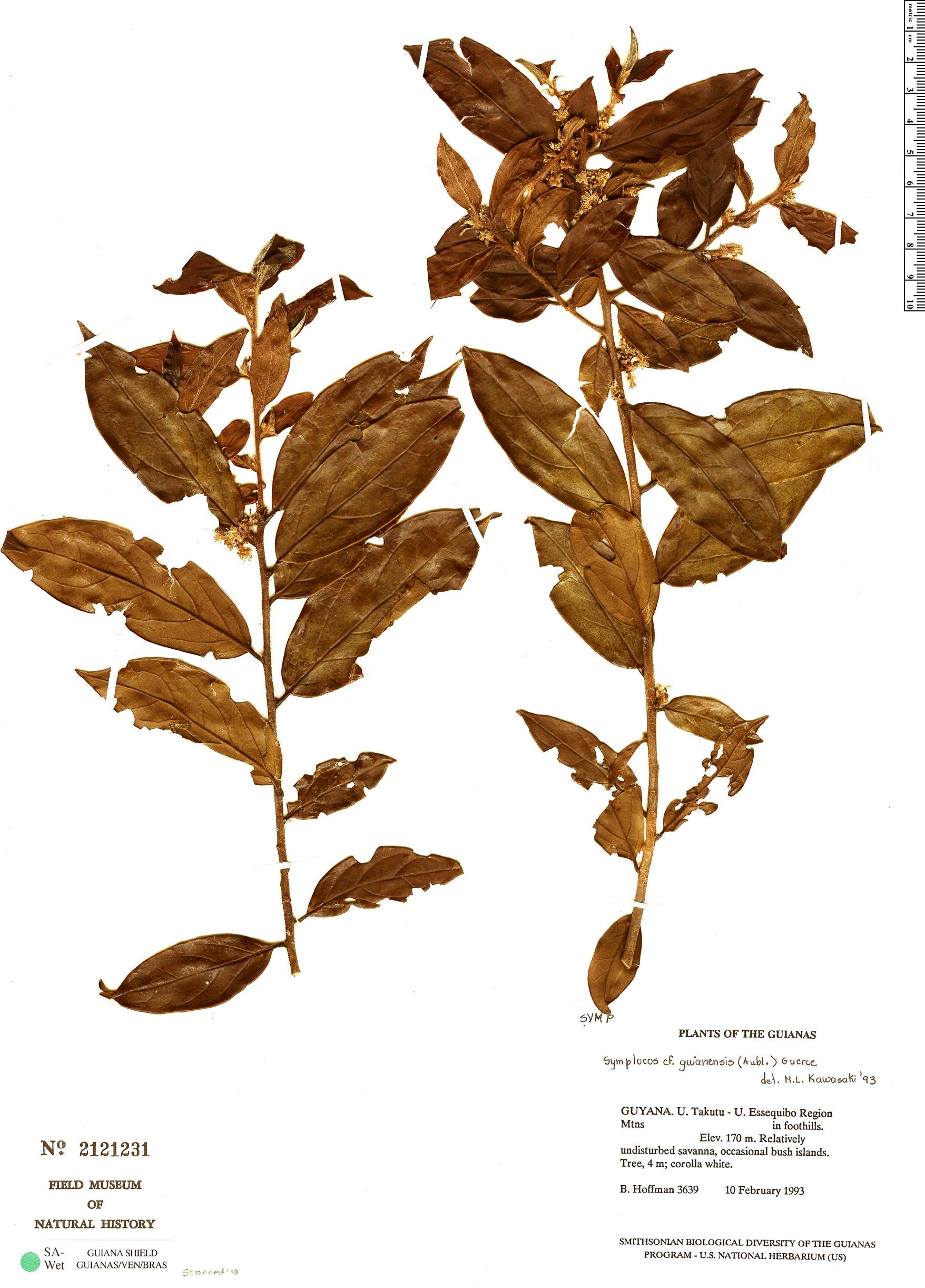 Specimen: Symplocos guianensis