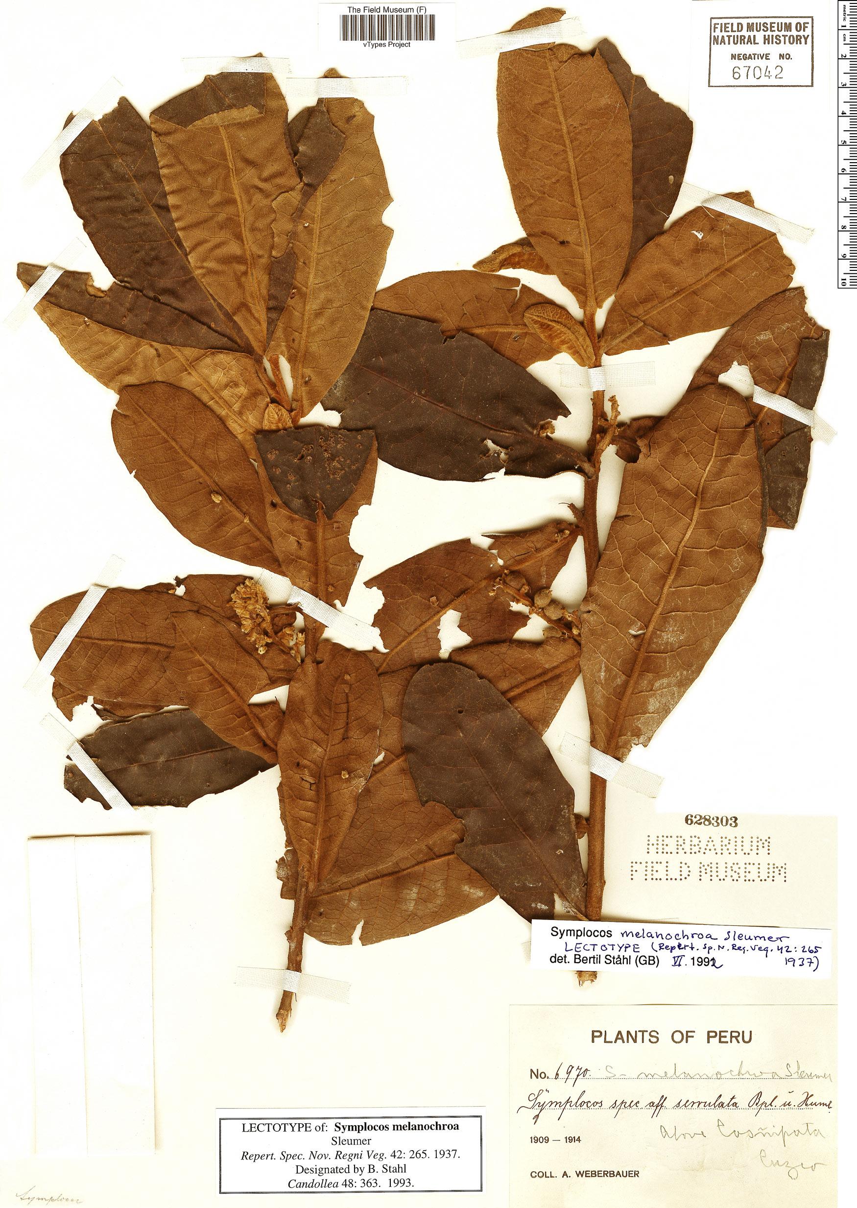 Espécimen: Symplocos melanochroa