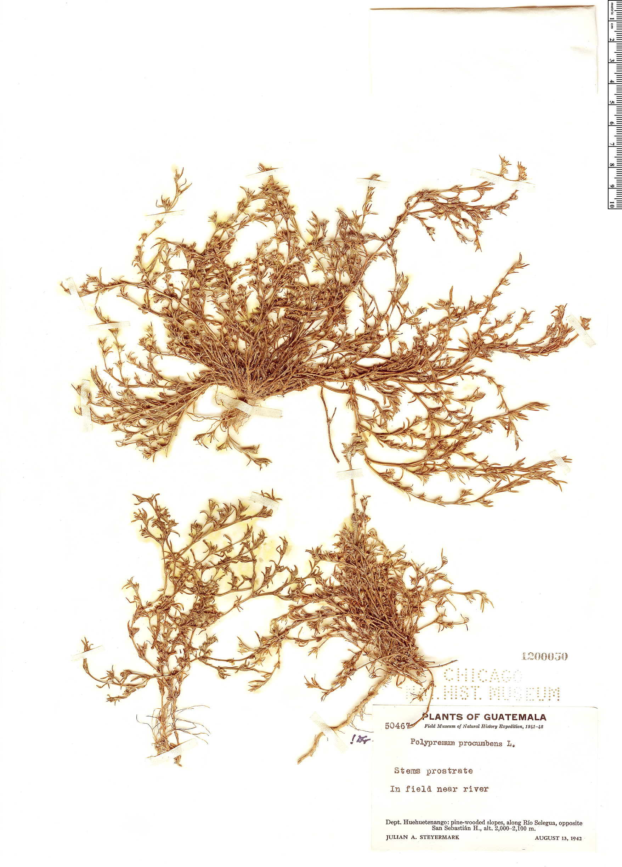 Specimen: Polypremum procumbens