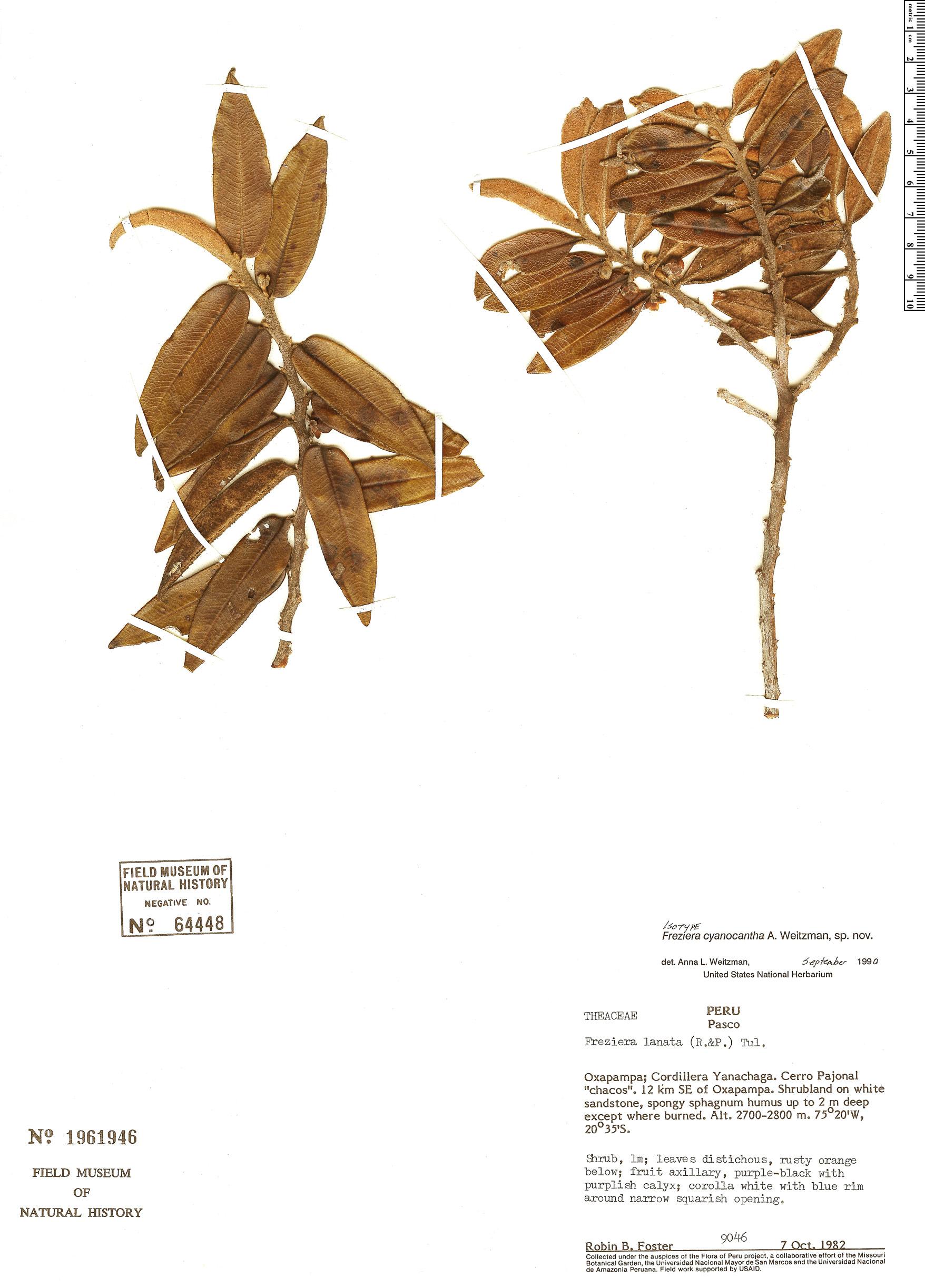 Specimen: Freziera cyanocantha