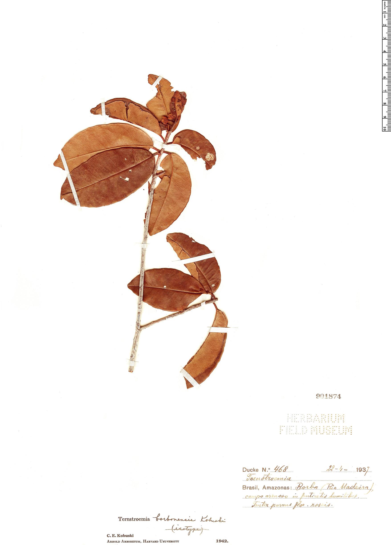 Specimen: Ternstroemia borbensis