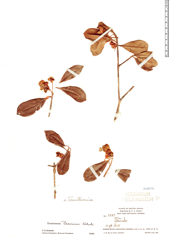 Specimen: Ternstroemia browniana