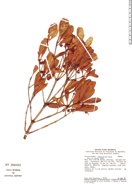 Specimen: Ternstroemia campinicola