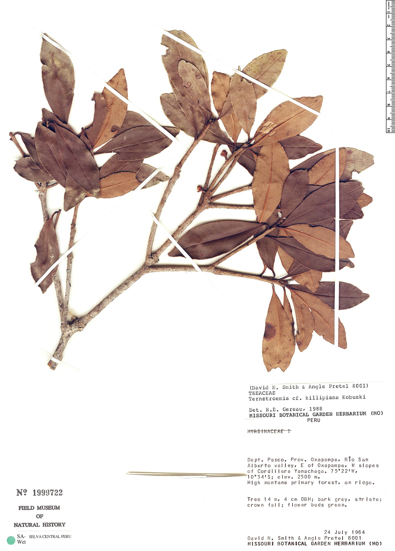 Specimen: Ternstroemia killipiana