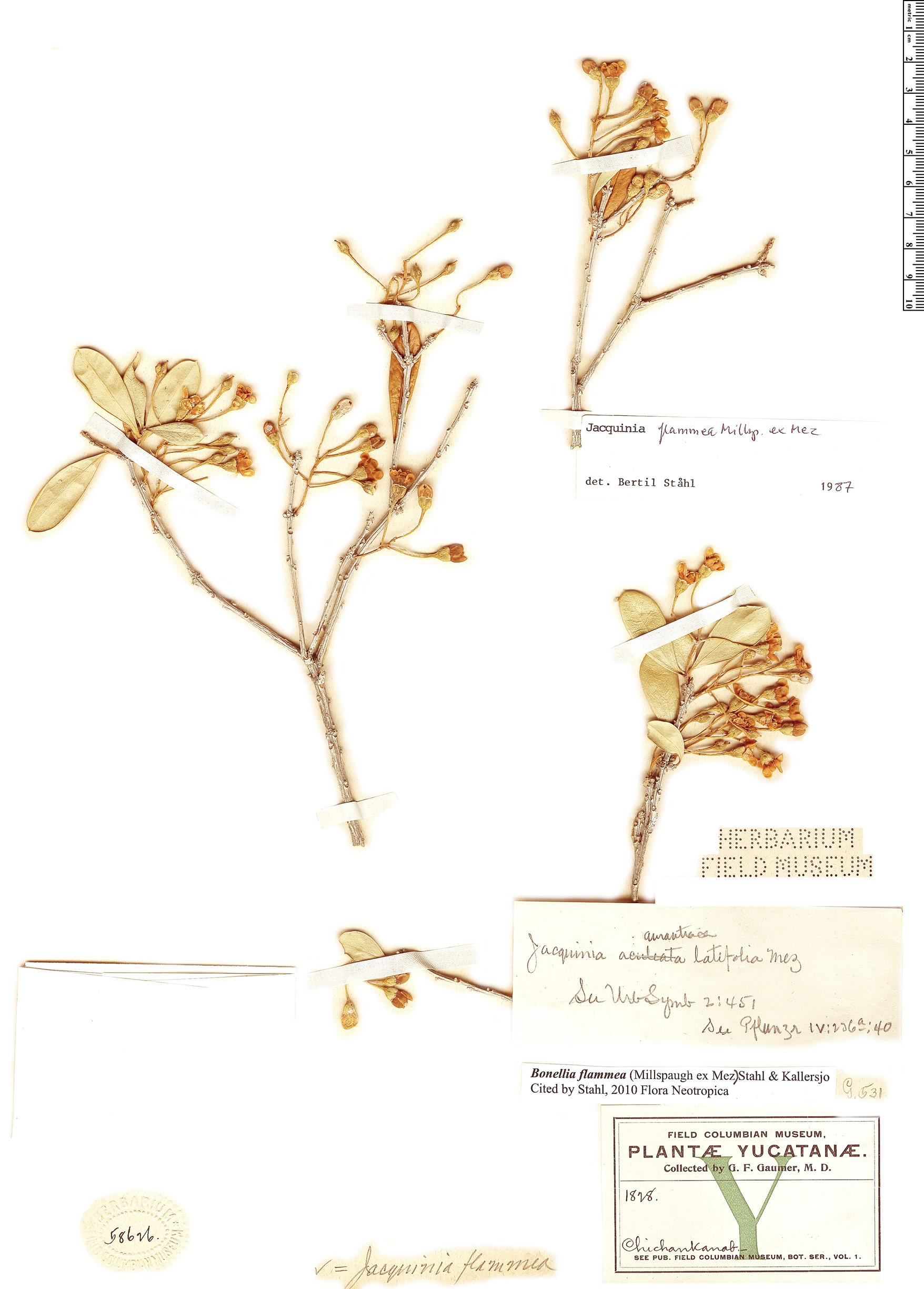 Specimen: Bonellia flammea