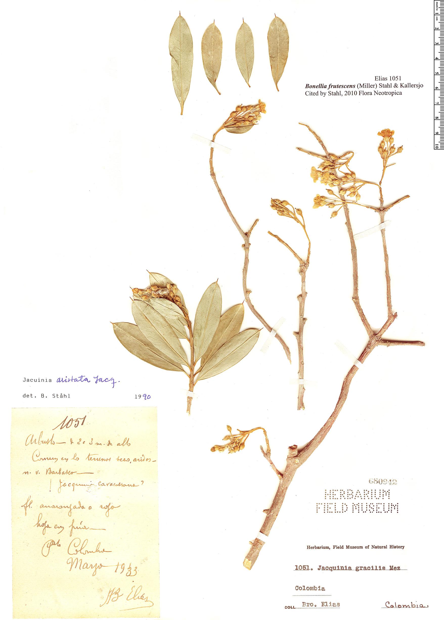 Specimen: Bonellia frutescens