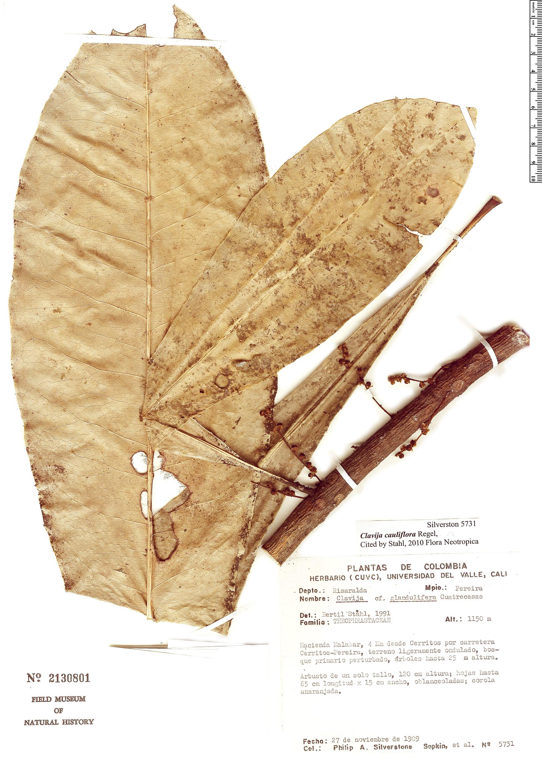 Espécime: Clavija cauliflora