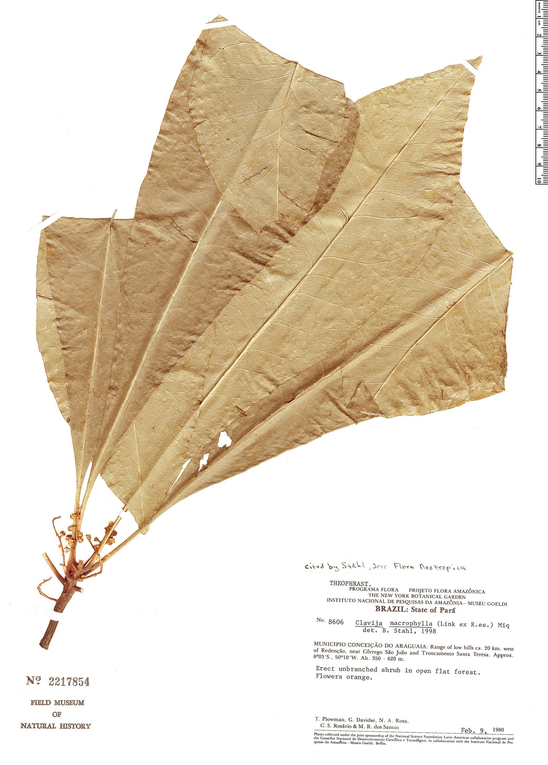 Specimen: Clavija macrophylla