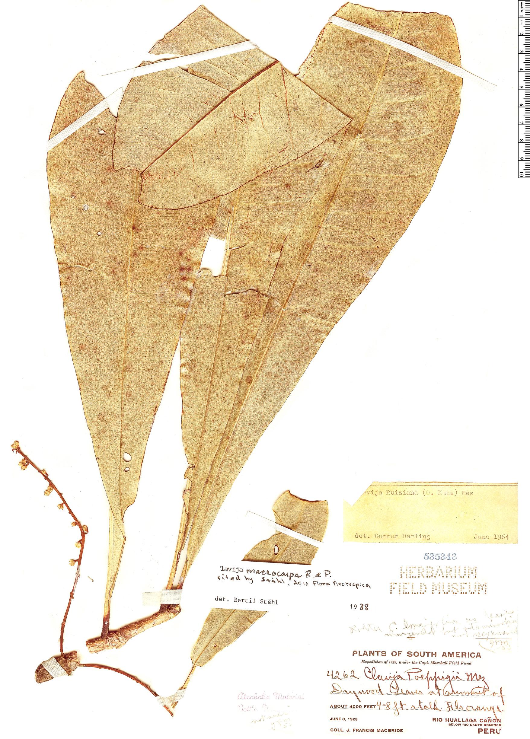 Specimen: Clavija macrocarpa
