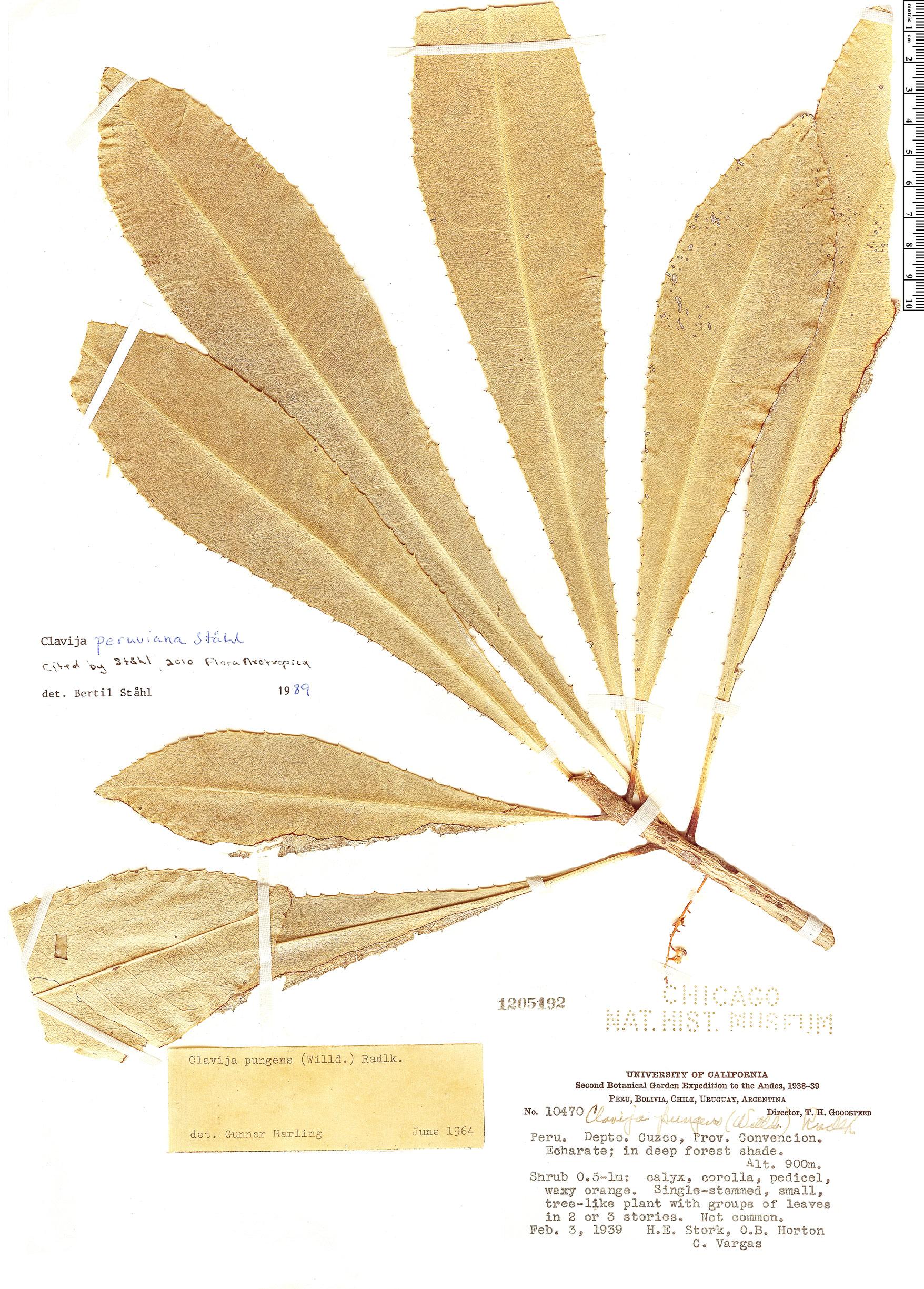 Espécimen: Clavija peruviana