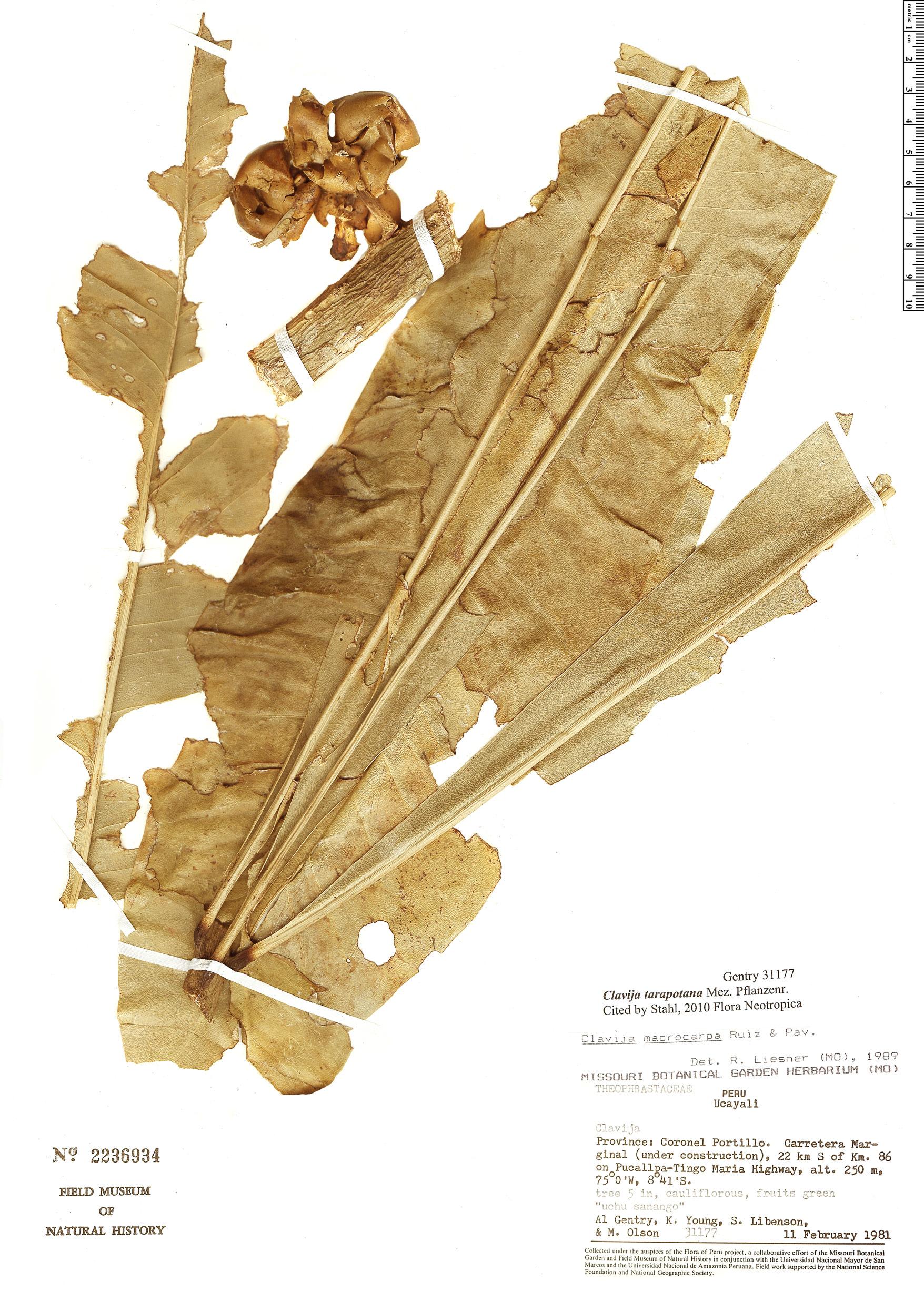 Specimen: Clavija tarapotana