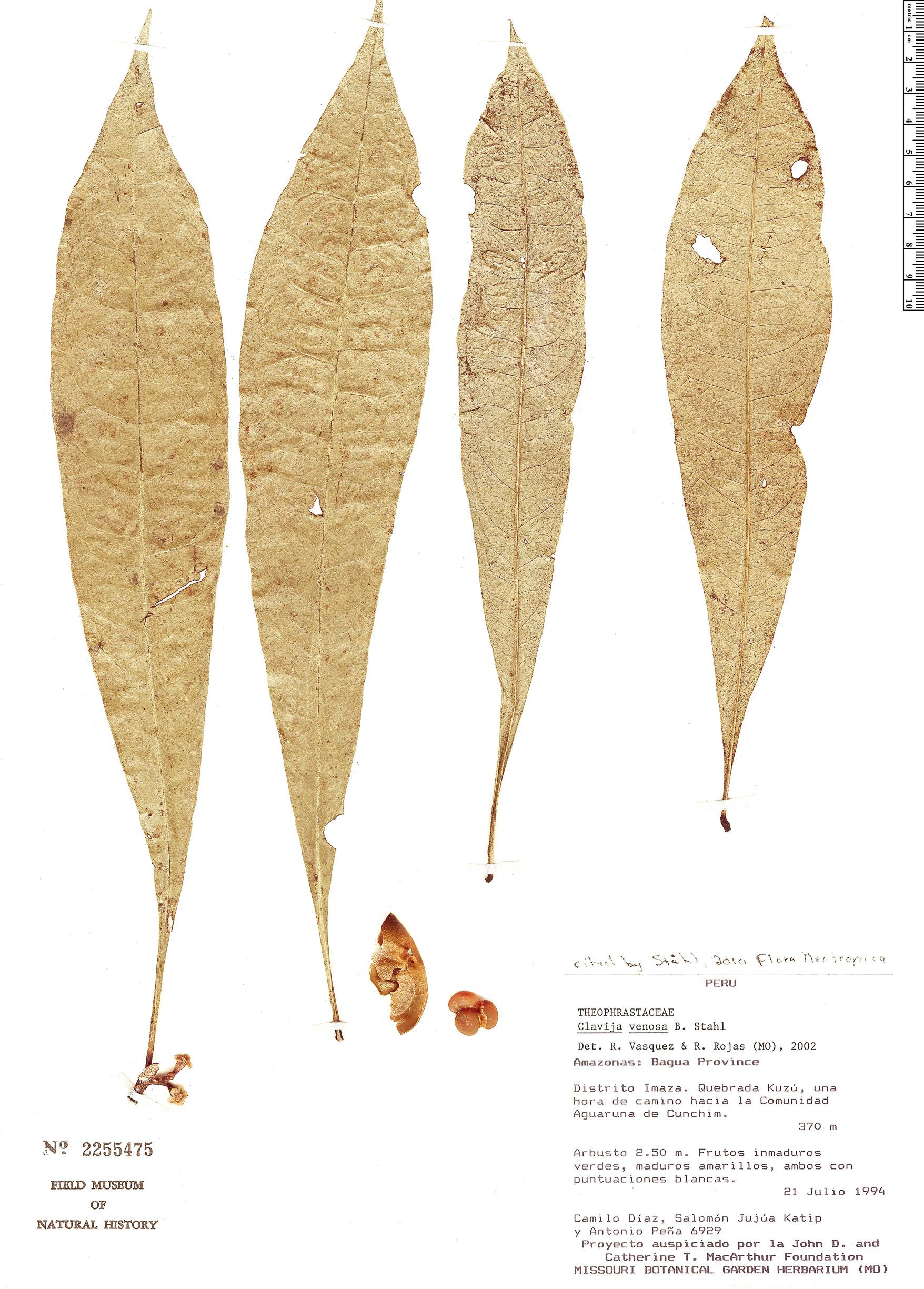 Specimen: Clavija venosa