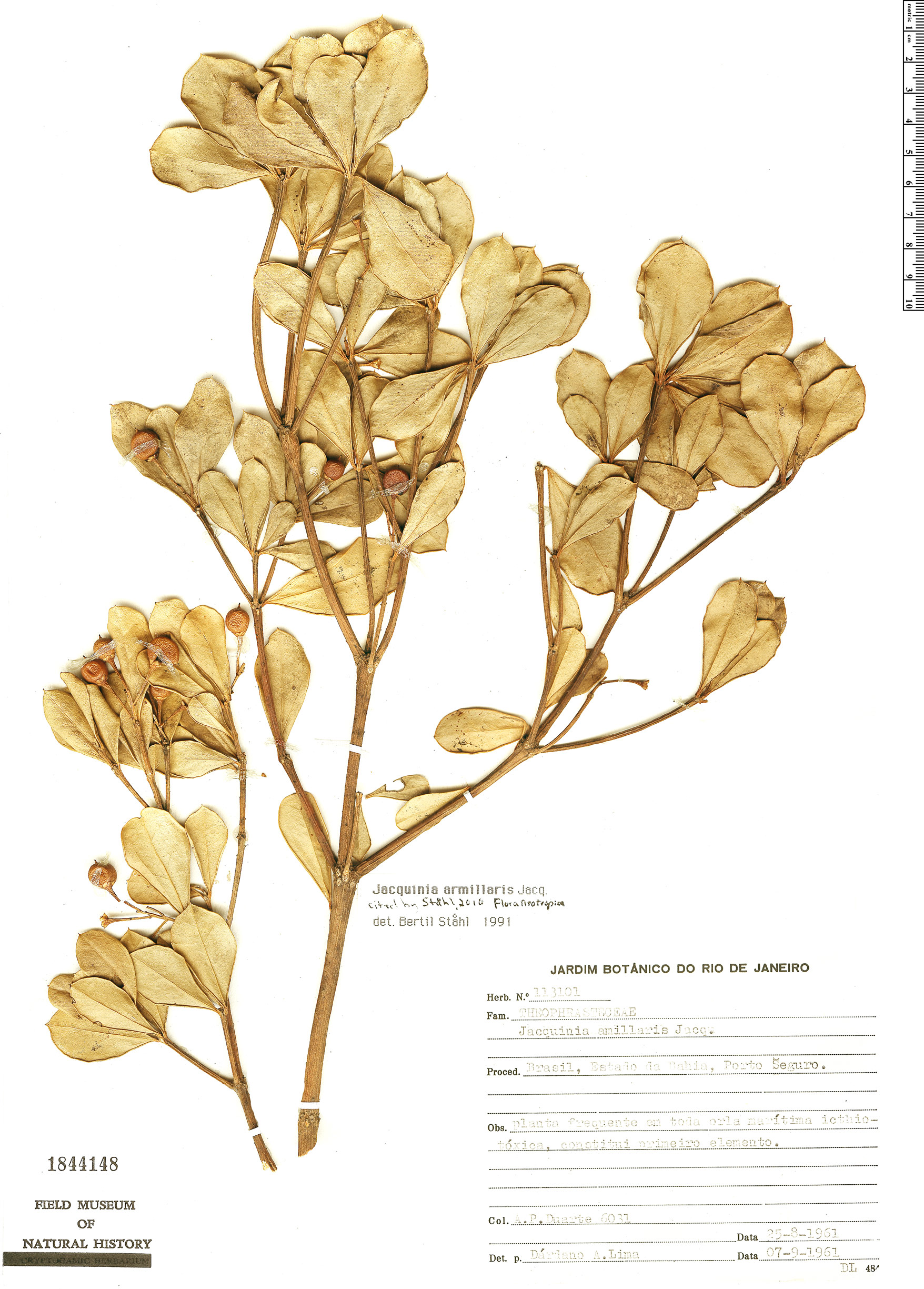 Specimen: Jacquinia armillaris