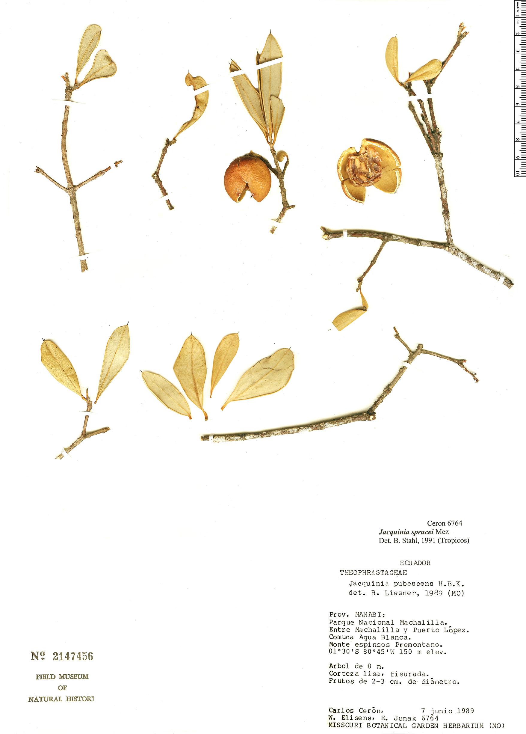 Specimen: Jacquinia sprucei