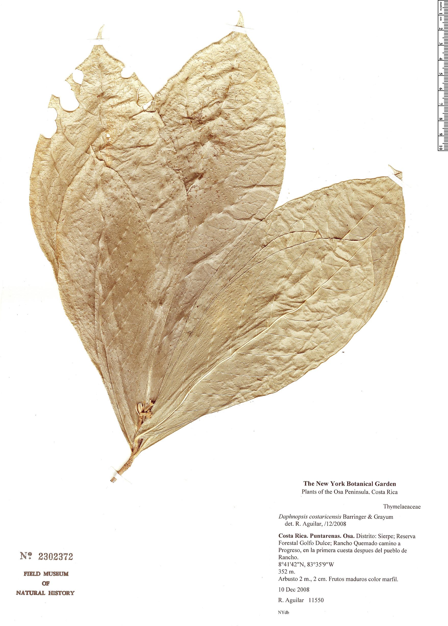 Specimen: Daphnopsis costaricensis