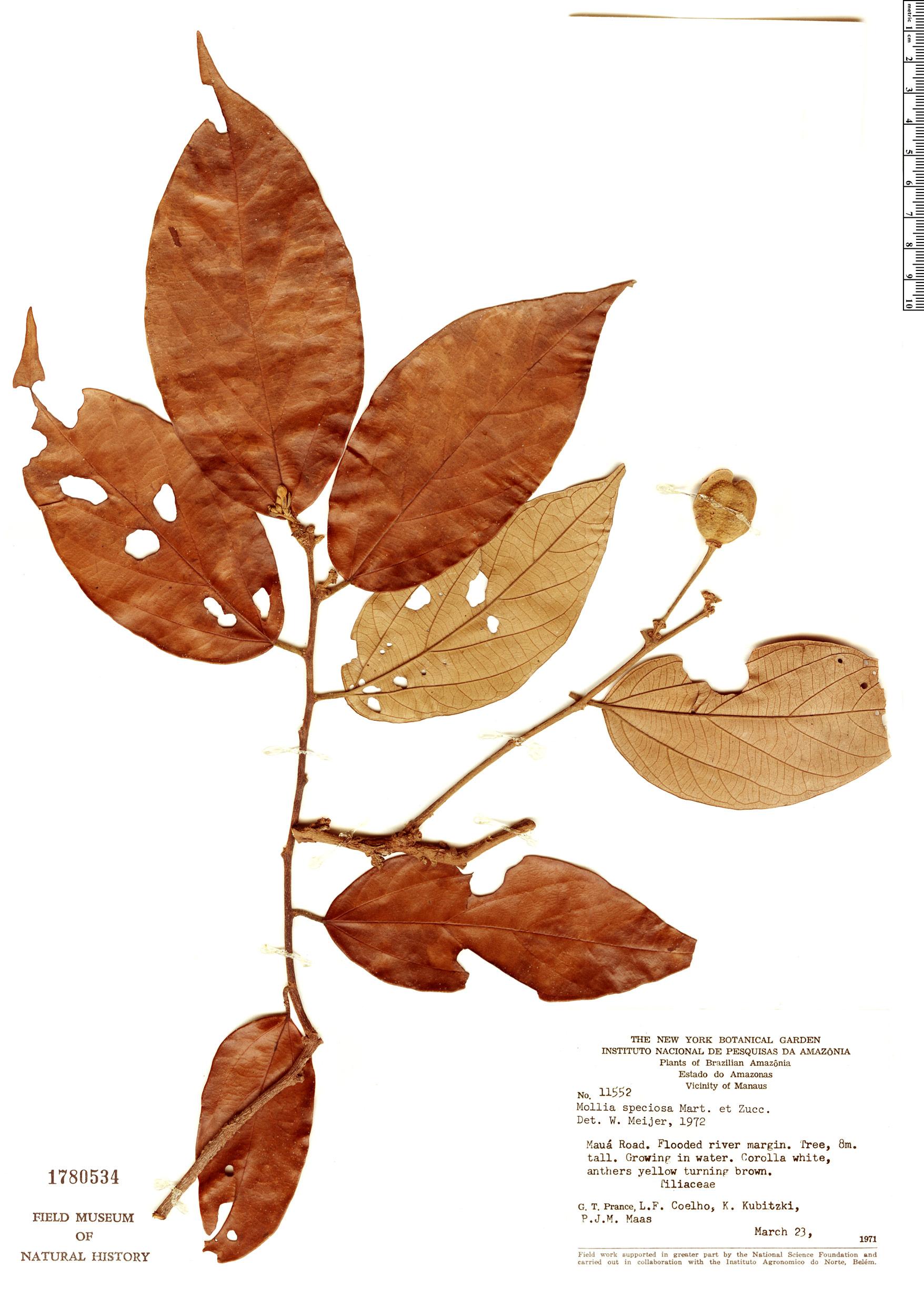Specimen: Mollia speciosa