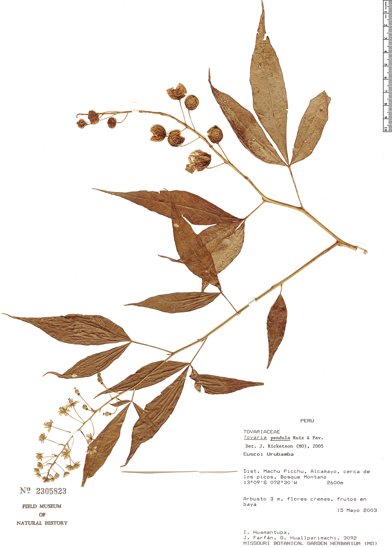Specimen: Tovaria pendula